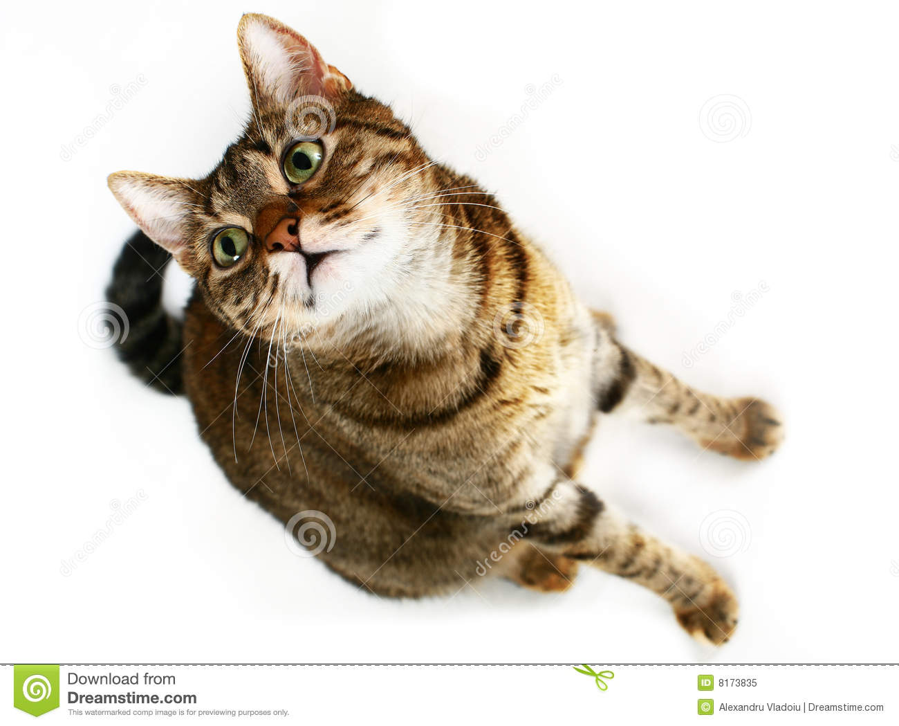 Staring cat stock image image of isolated inquisitive 8173835 royalty free stock photo voltagebd Images