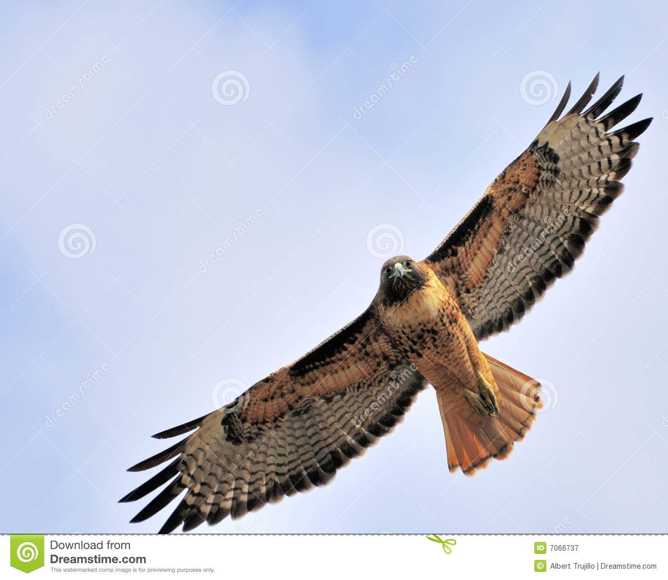 Staring Redtail Hawk Royalty Free Stock Photography - Image: 7066737