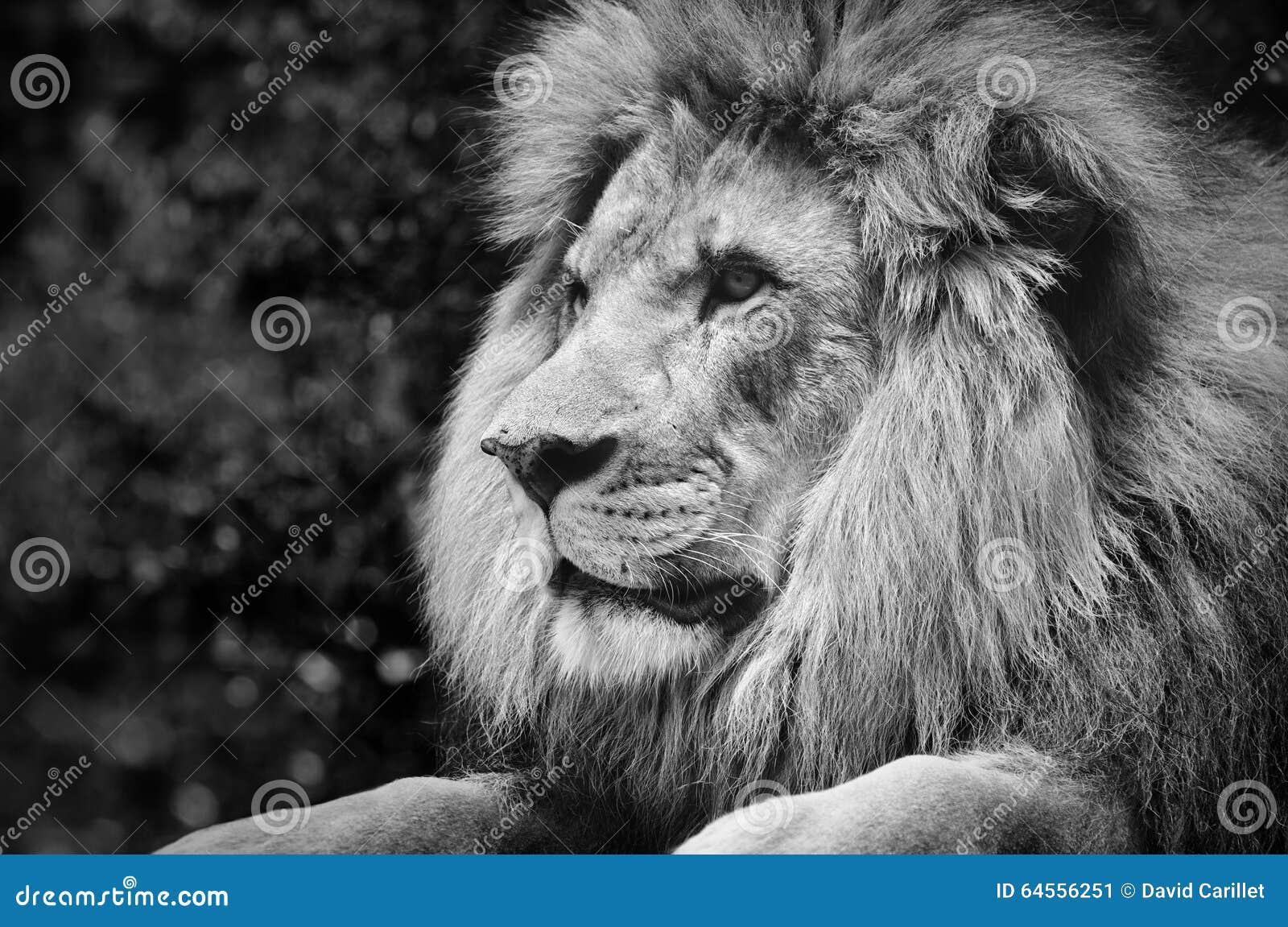 Starker Kontrast Schwarzweiss von einem männlichen Löwe in einer königlichen Haltung