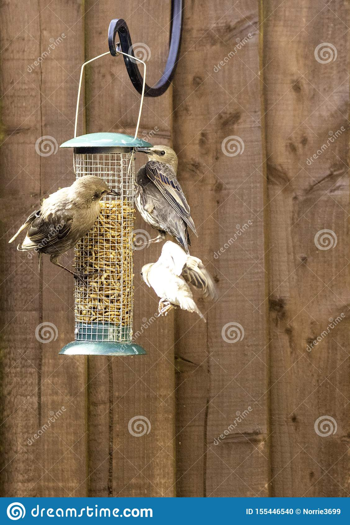 Starling Bird Feeder Meal