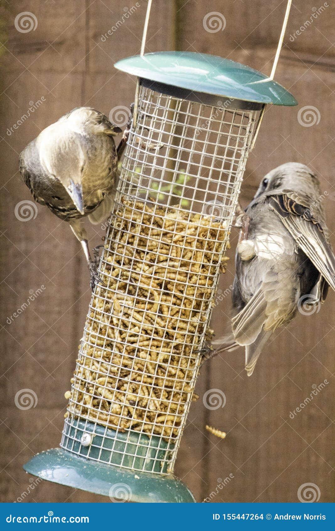 Starling Bird Feeder Meal