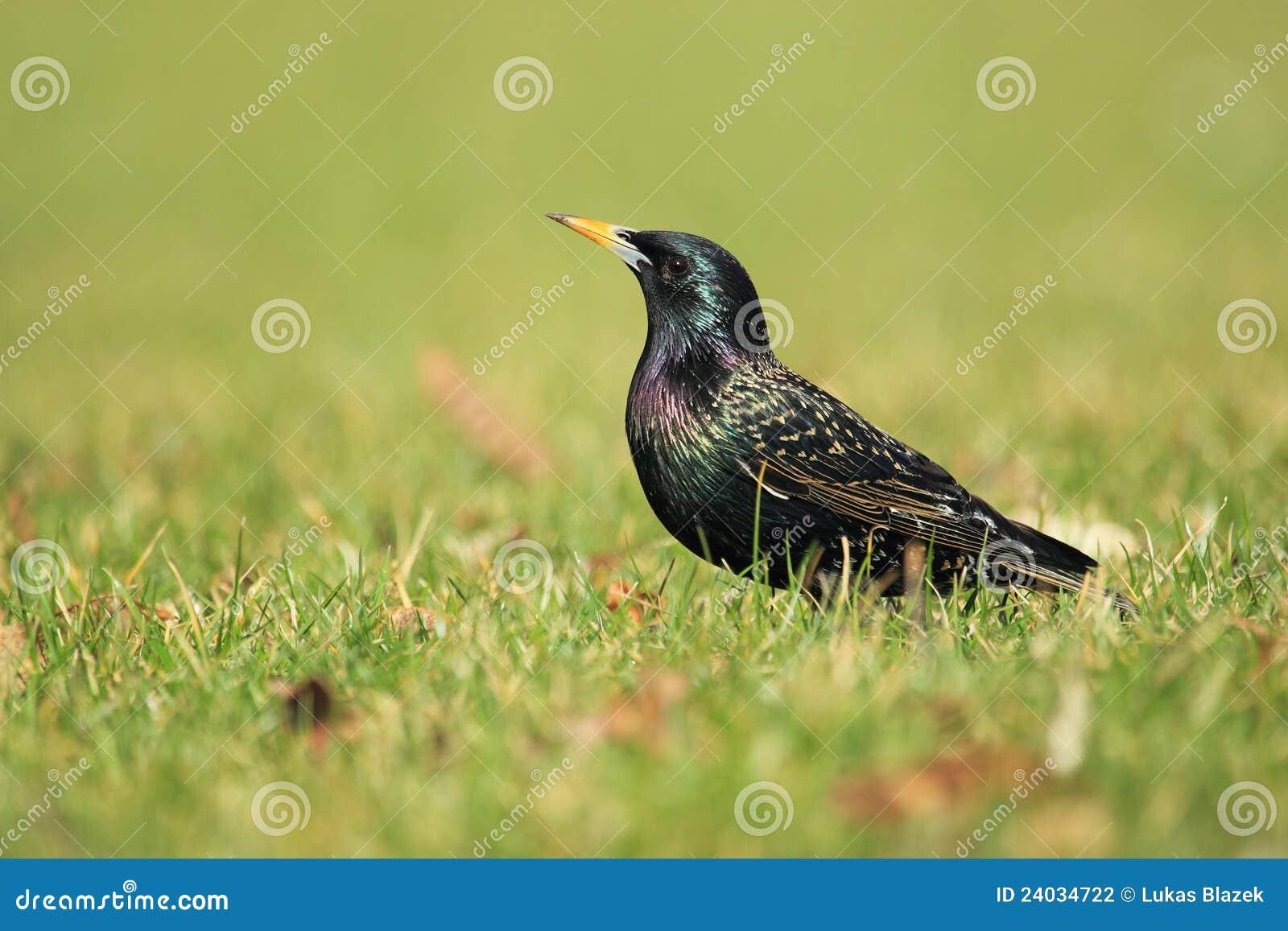 Starling comune