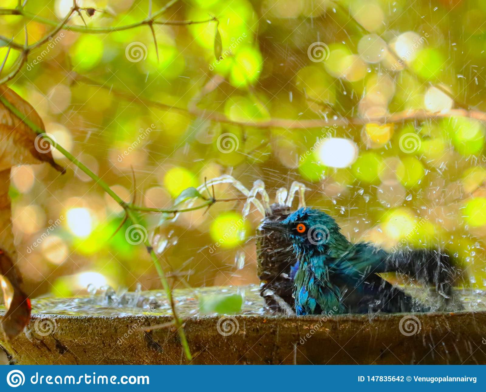 Starling die van Burchell een bad hebben