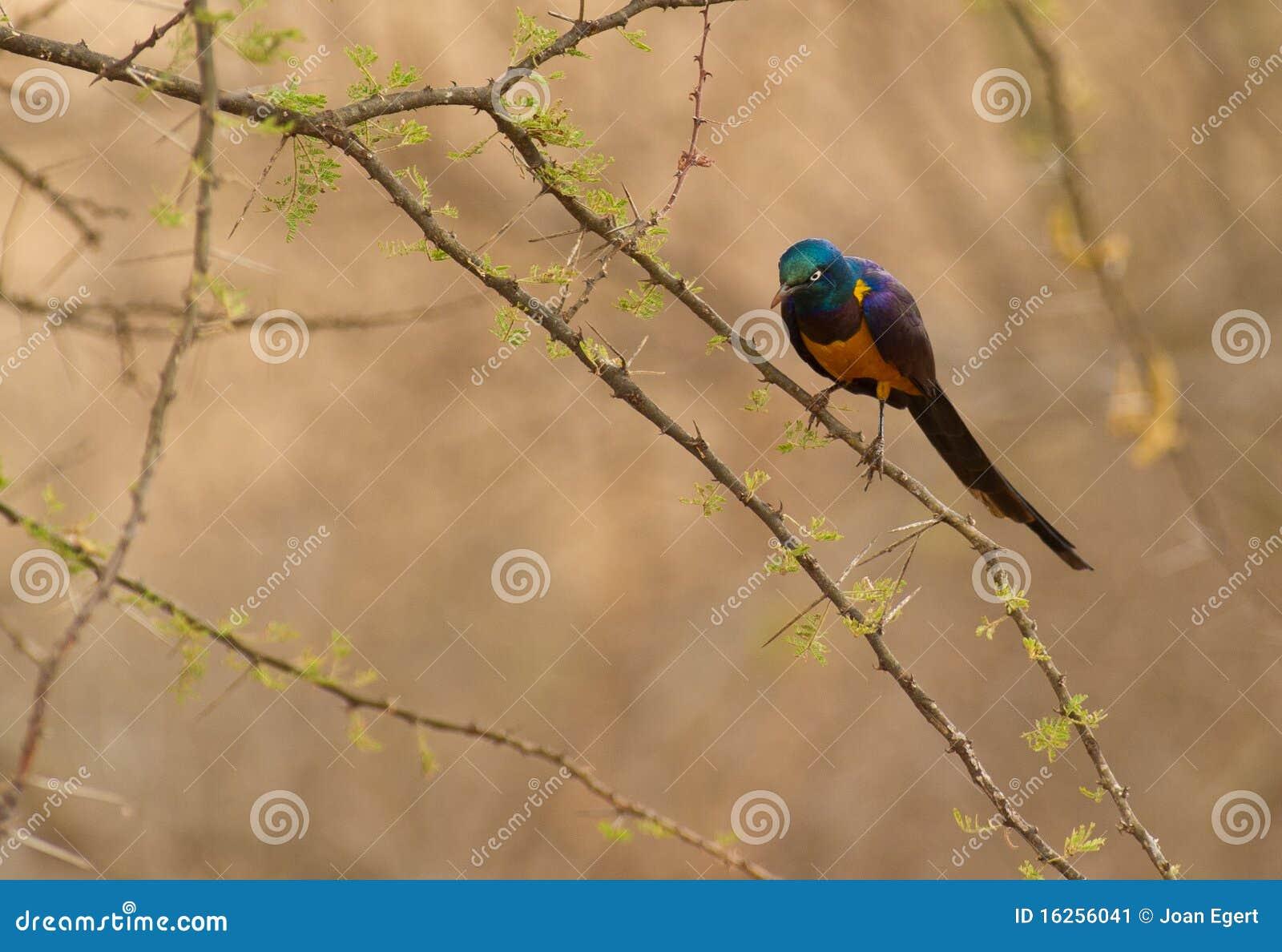 Starling Dorato-breasted sull acacia