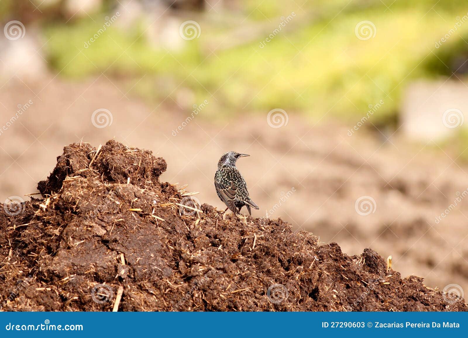 Starling e concime
