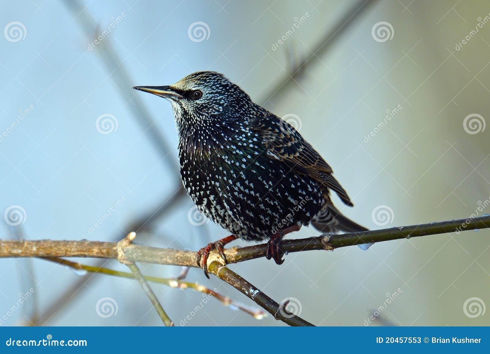 Starling europeo