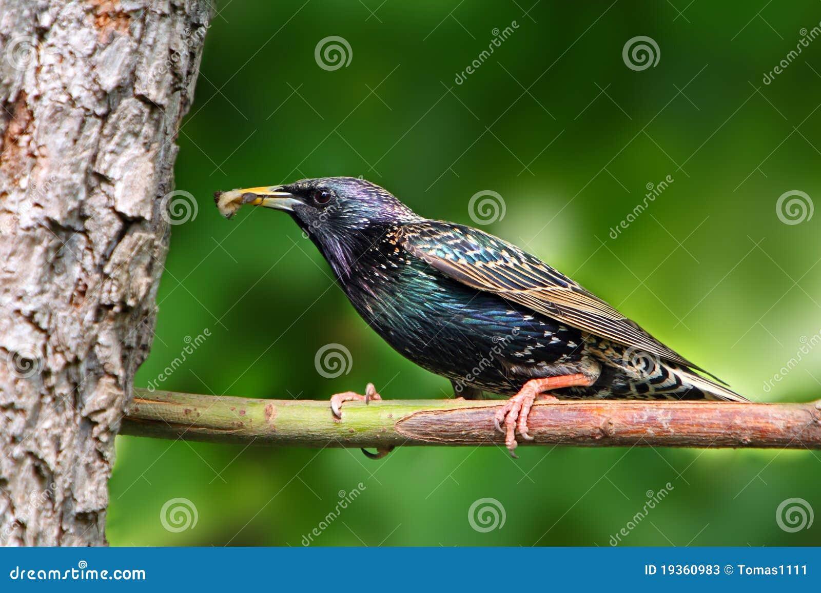 Starling europeu na filial.