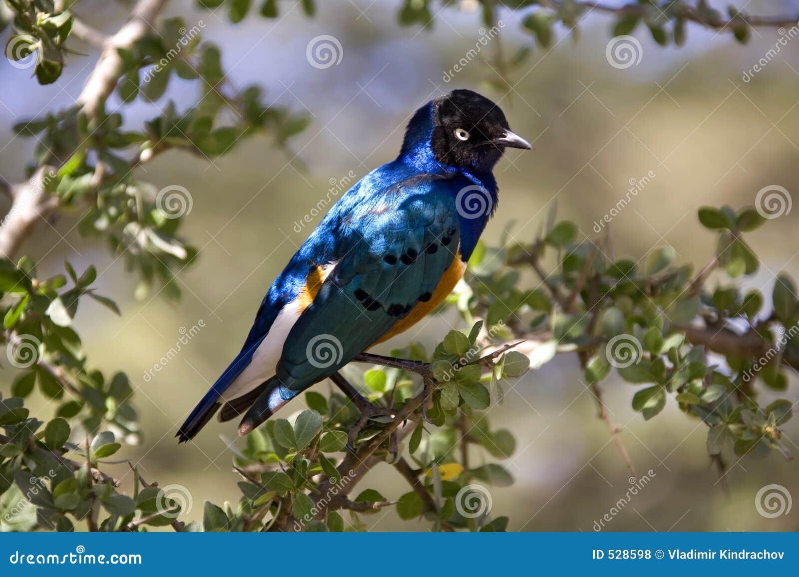 Starling lustroso dos animais 027