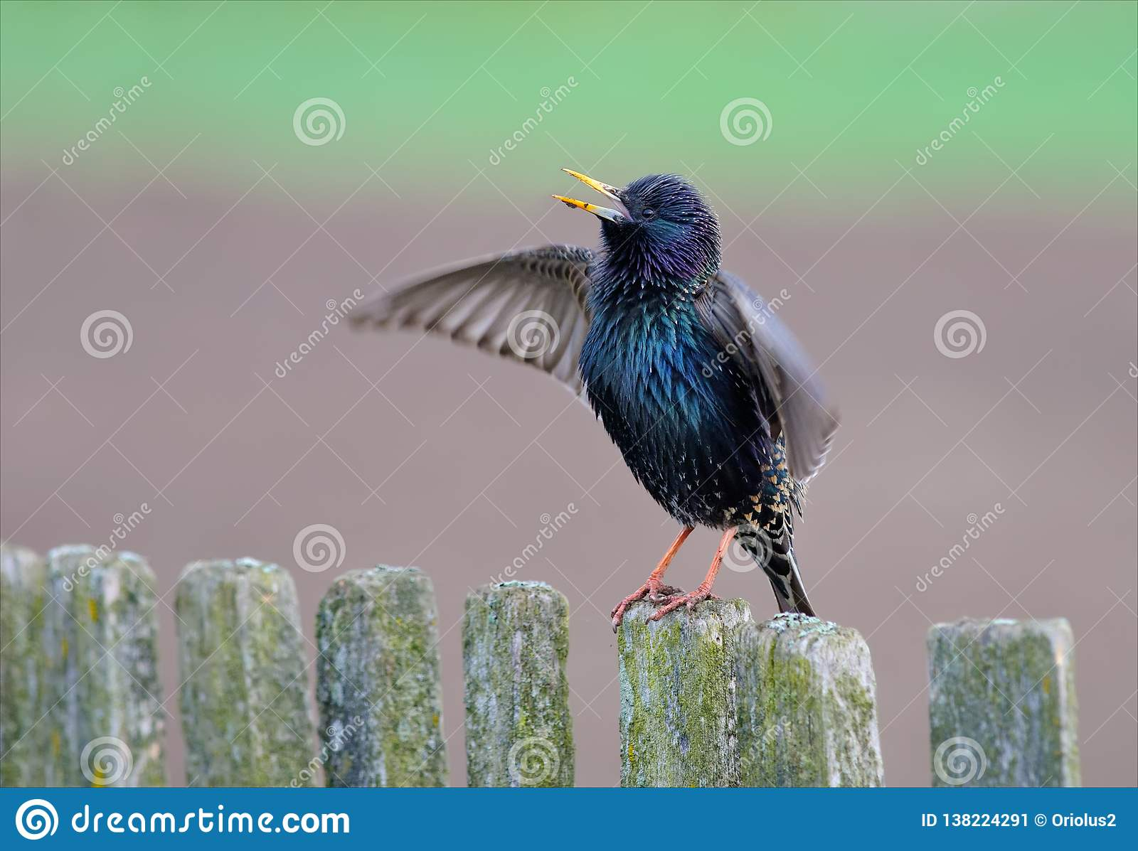 Starling Singing comune