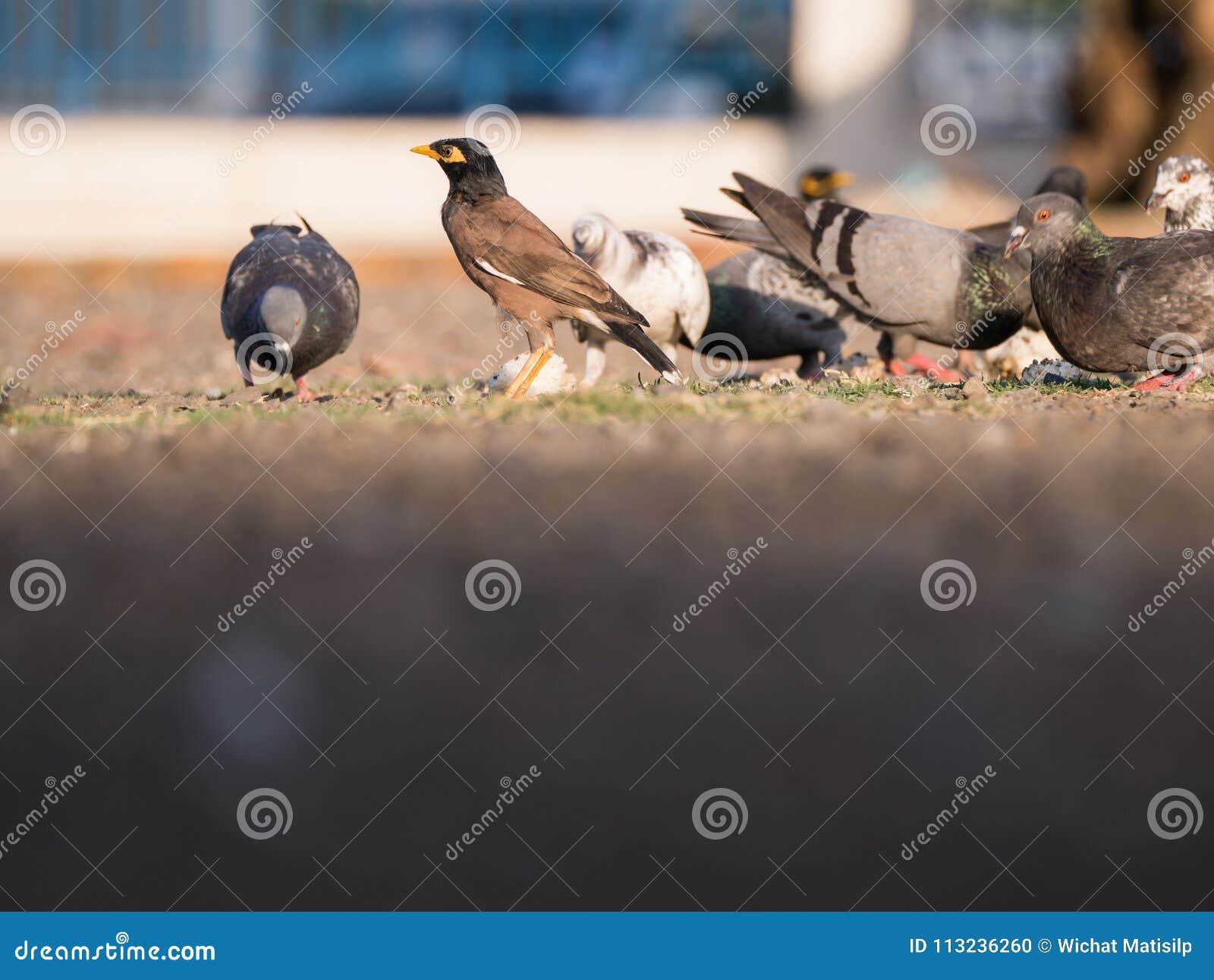 Starling Standing Alone fra i piccioni