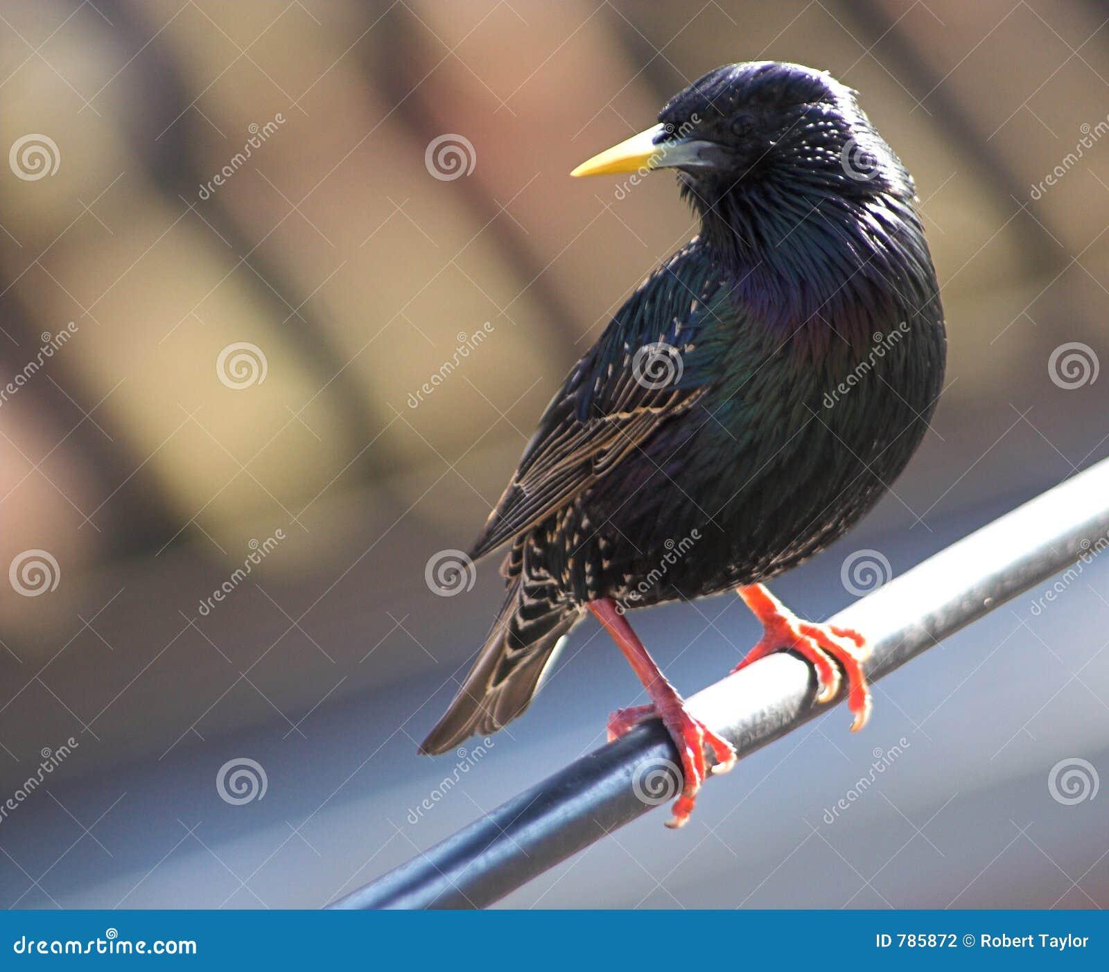 Starling Stange