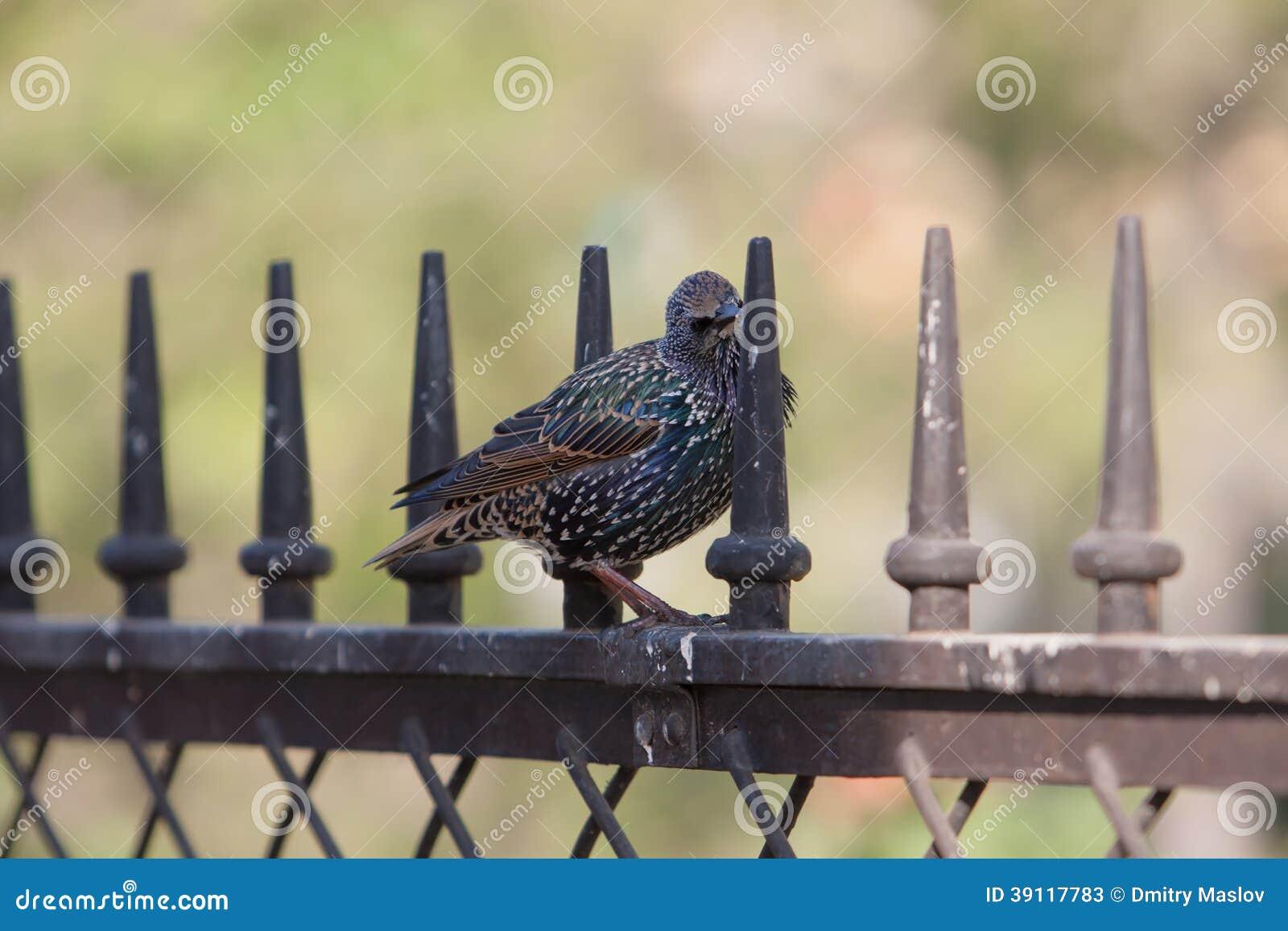 Starling zit op een metaalomheining