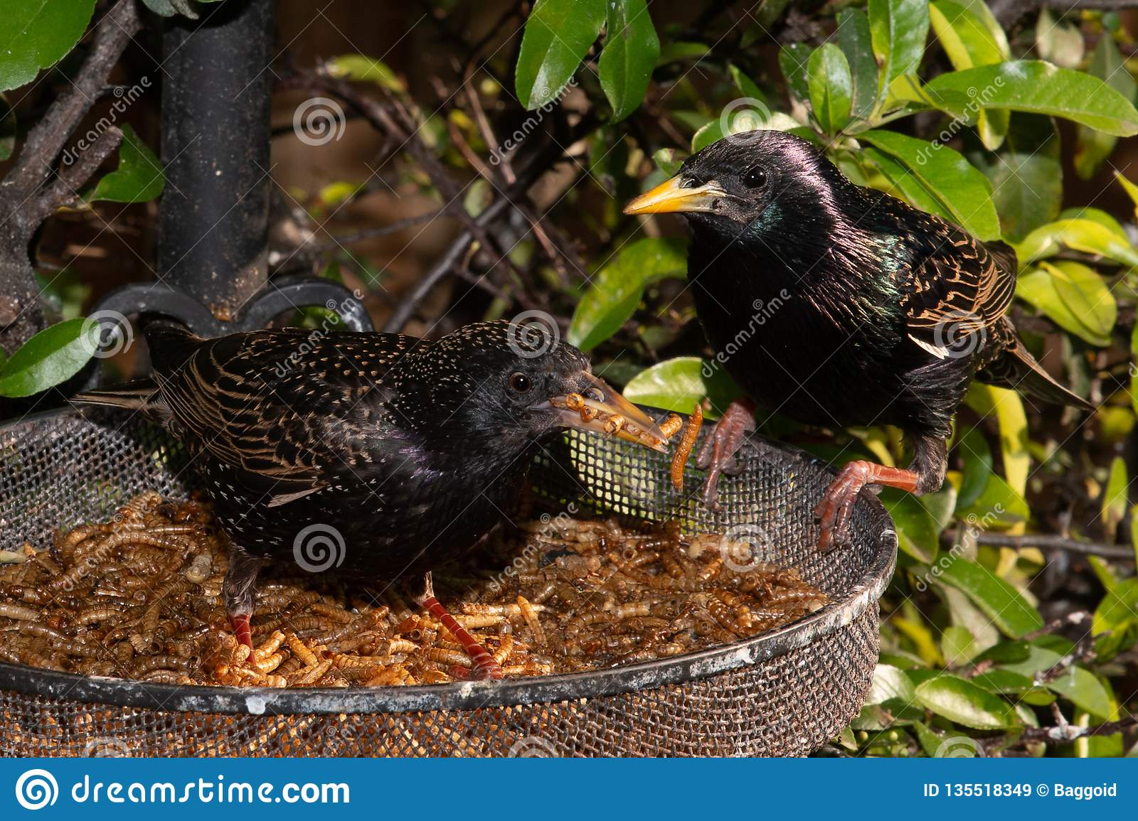 Starlings Taking a Quick Snack
