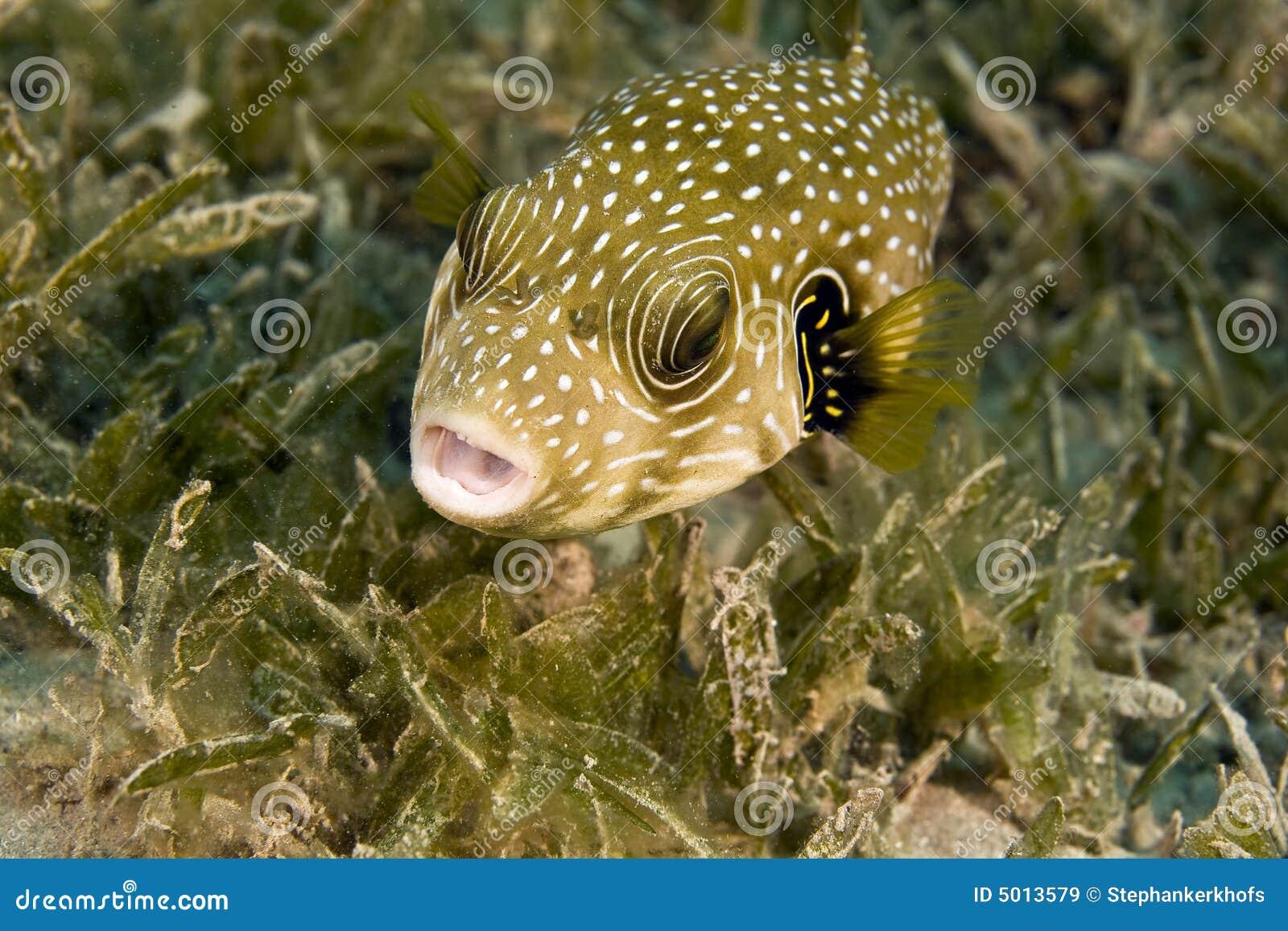 Starry puffer (arothron stellatus)