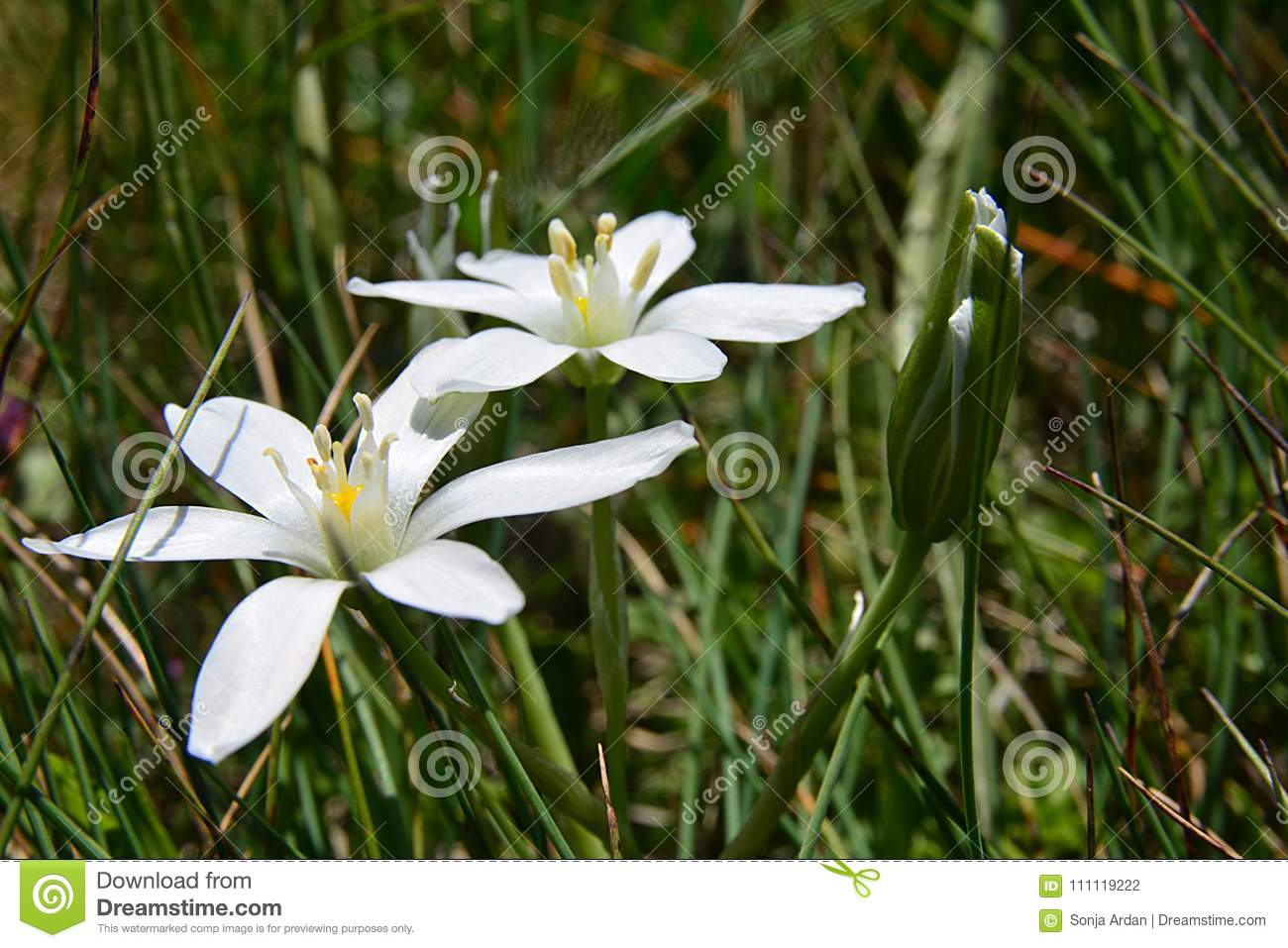 Starry White Flowers In The Grass Swaying In The Wind Stock Photo