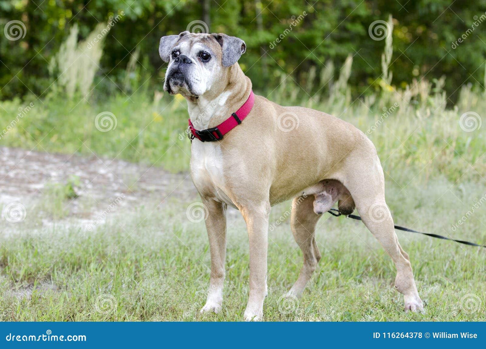 Starszy źrebię boksera pies, zwierzę domowe adopci ratownicza fotografia