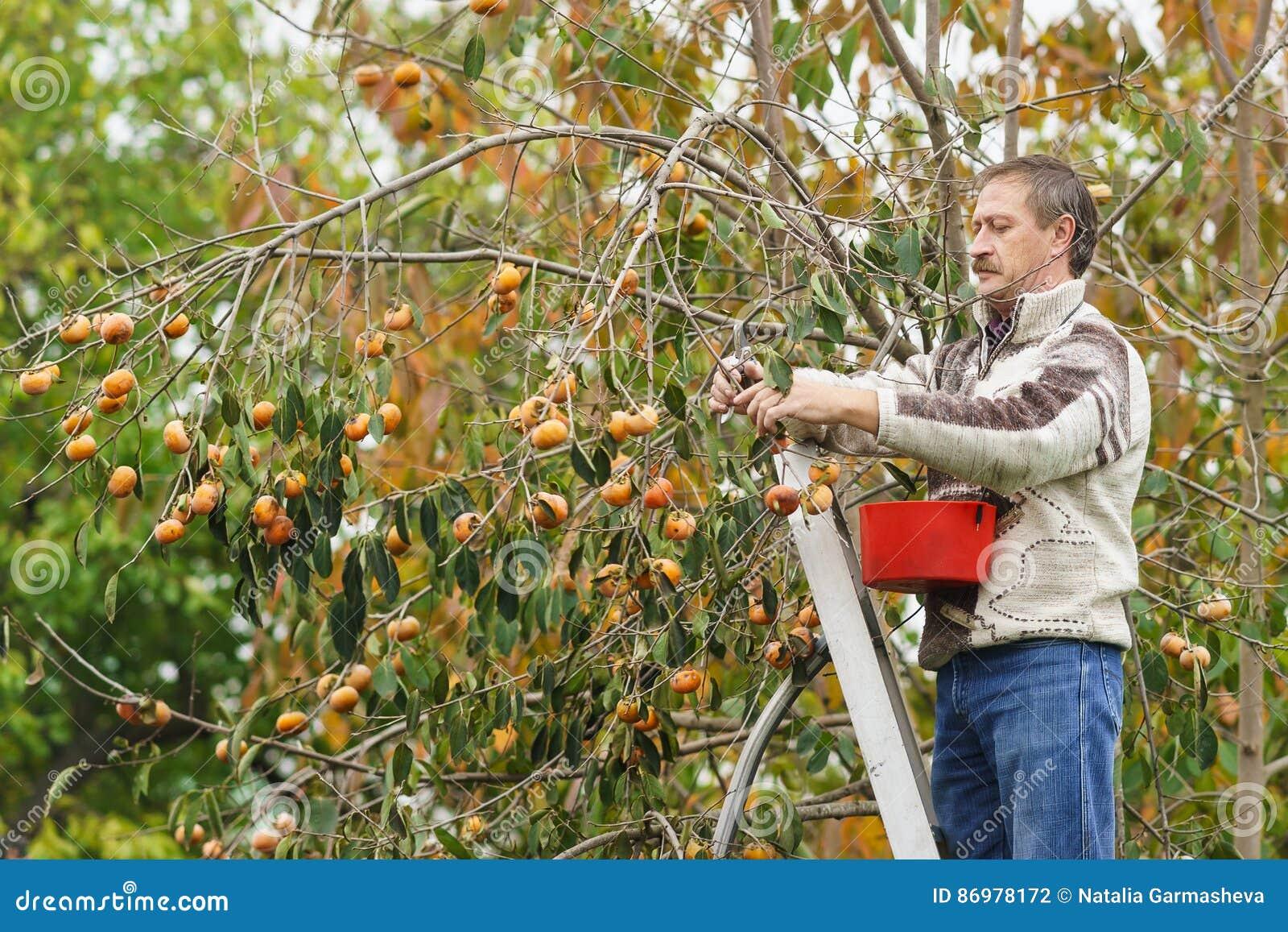 Starszy mężczyzna zbiera od drzewa dojrzali persimmons