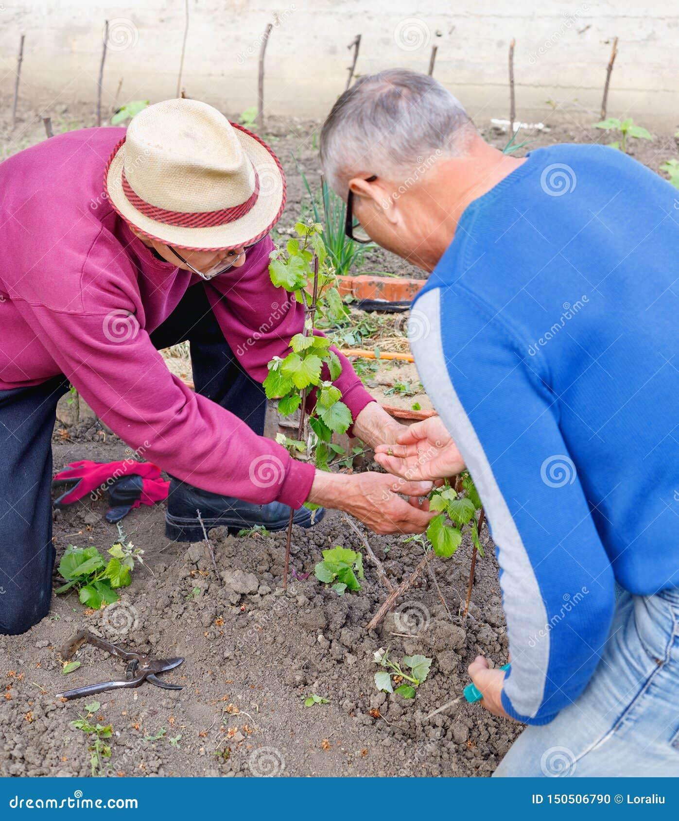 Starszy rolnik pokazuje inną dorosłą ogrodniczki czułość dla młodego gronowego krzaka
