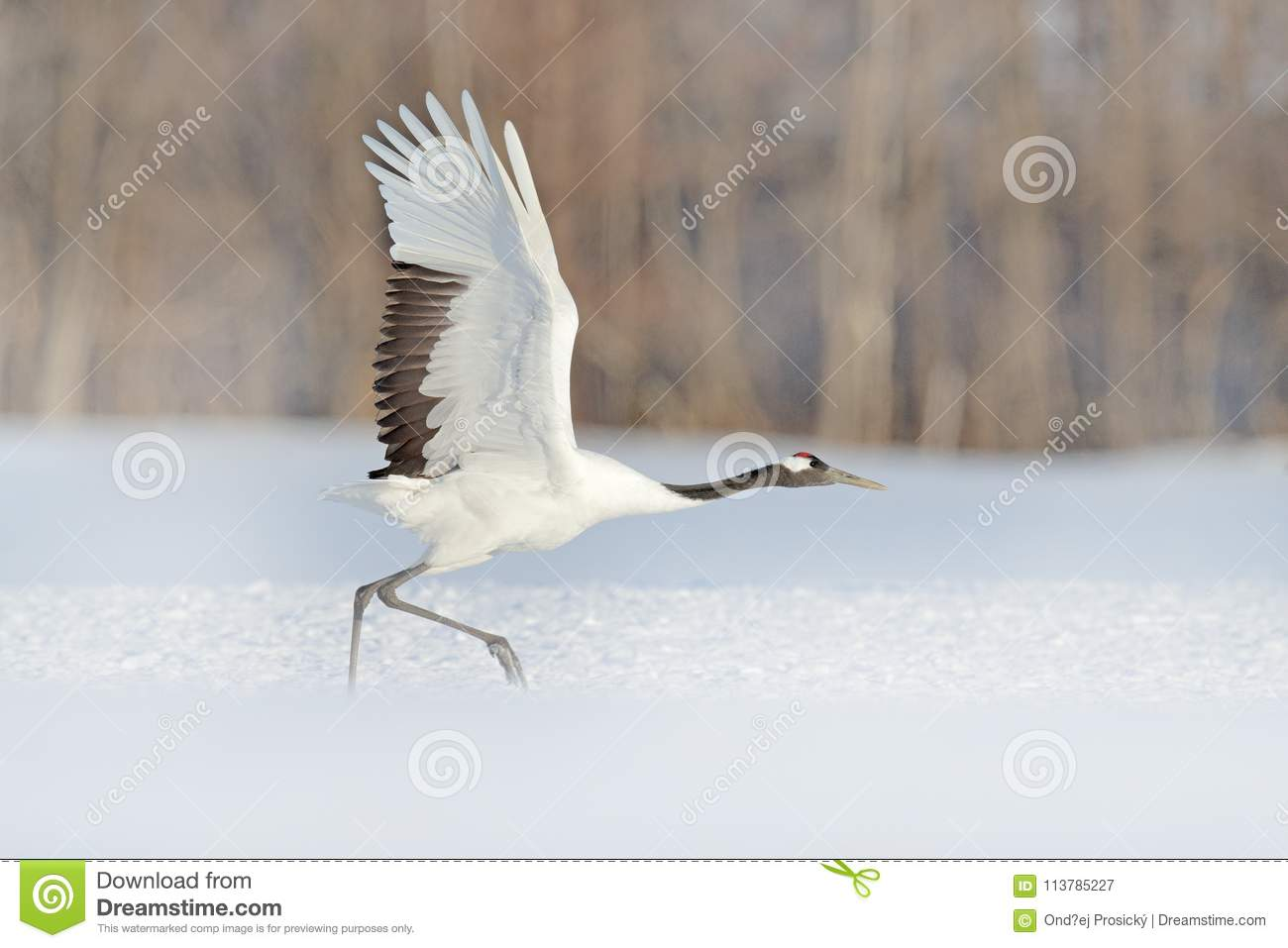 Start Red-crowned crane in snow meadow, with snow storm, Hokkaido, Japan. Bird in fly, winter scene with snowflakes. Snow dance in