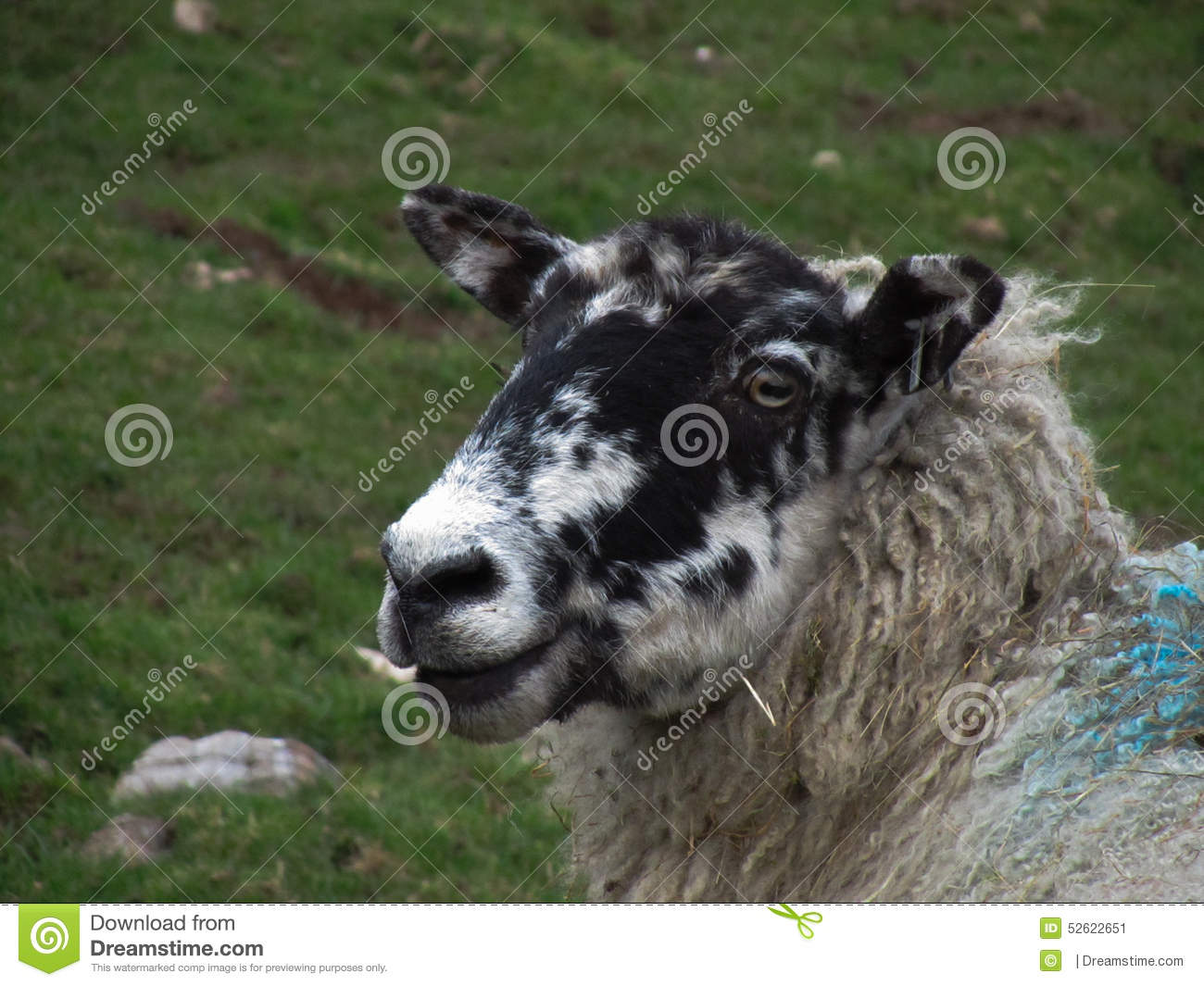 The startled sheep stock image. Image of black, sheep - 52622651 for Sheep Face Black And White  59nar
