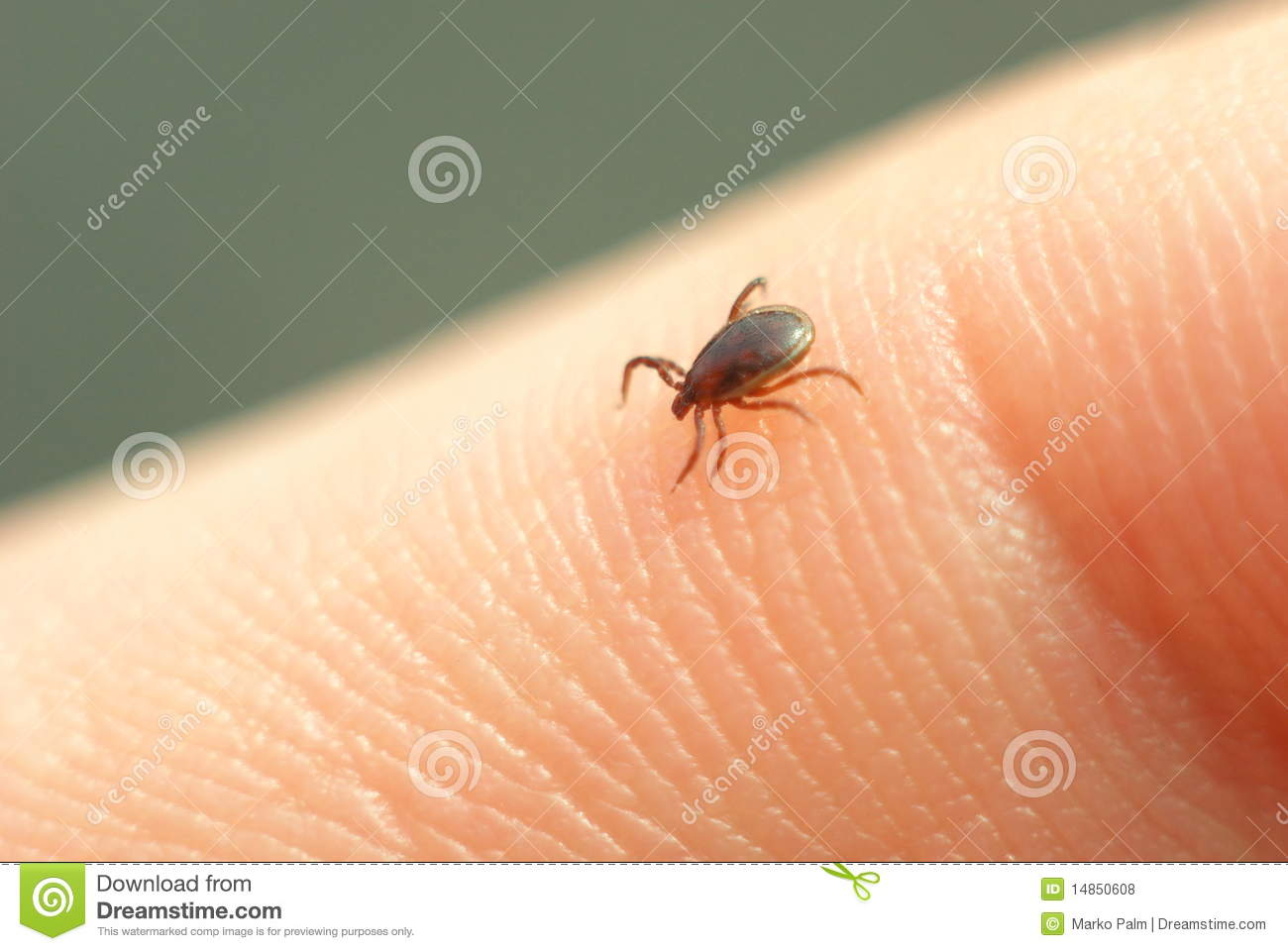 Starved Tick Seeking Right Place on Host Body