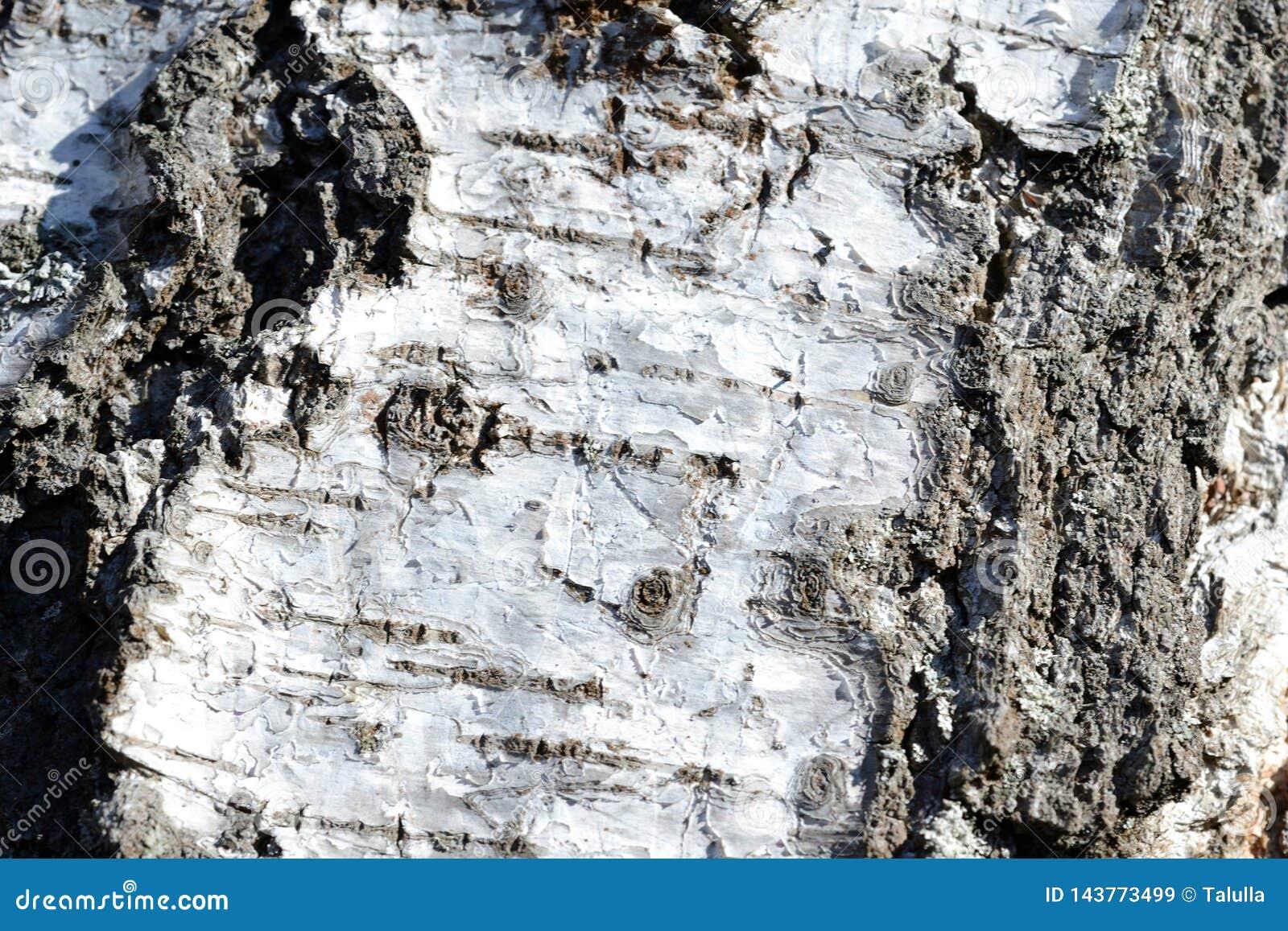 Stary brzozy drzewnej barkentyny tło i tekstura
