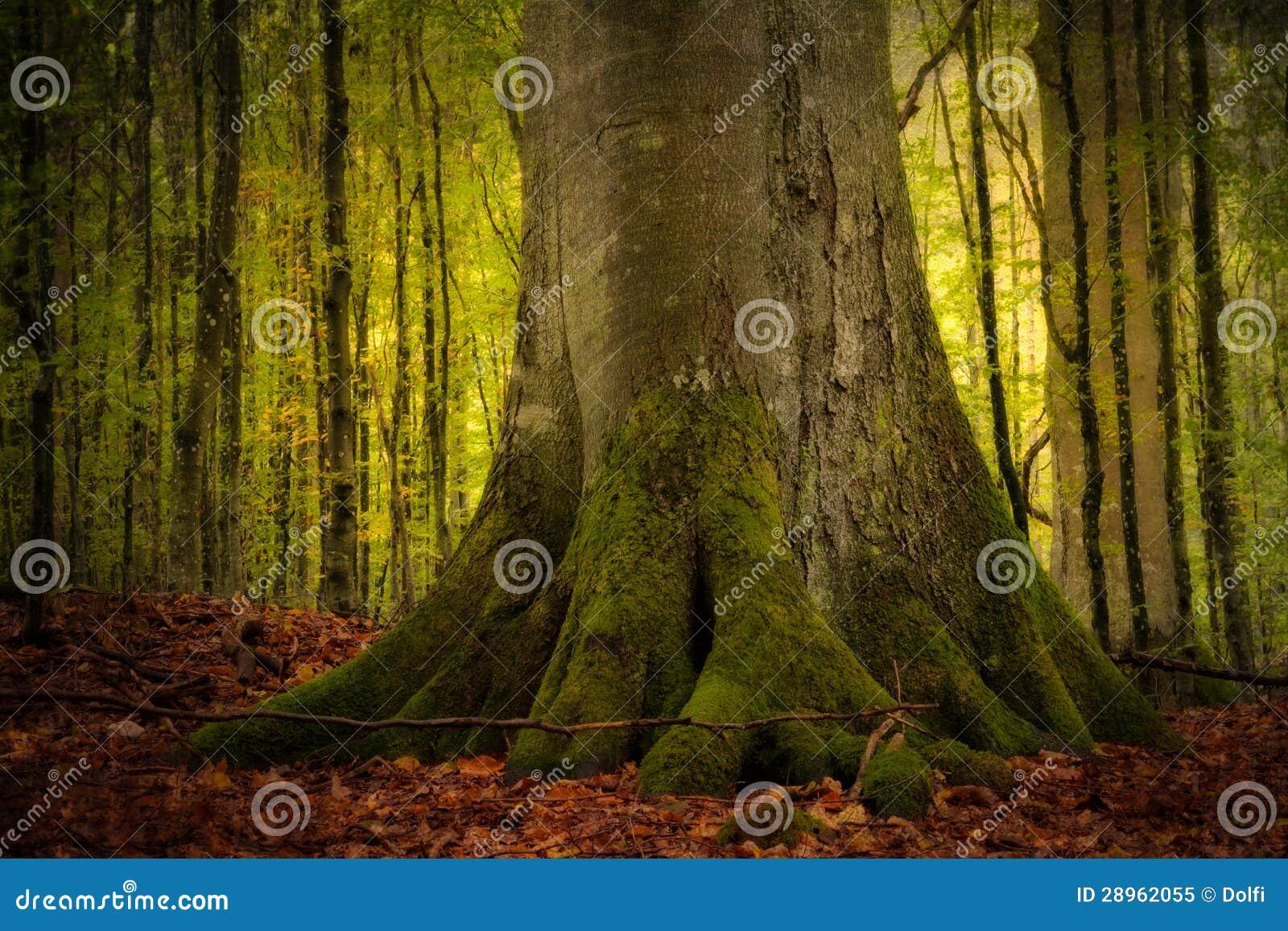 Stary bukowy drzewo