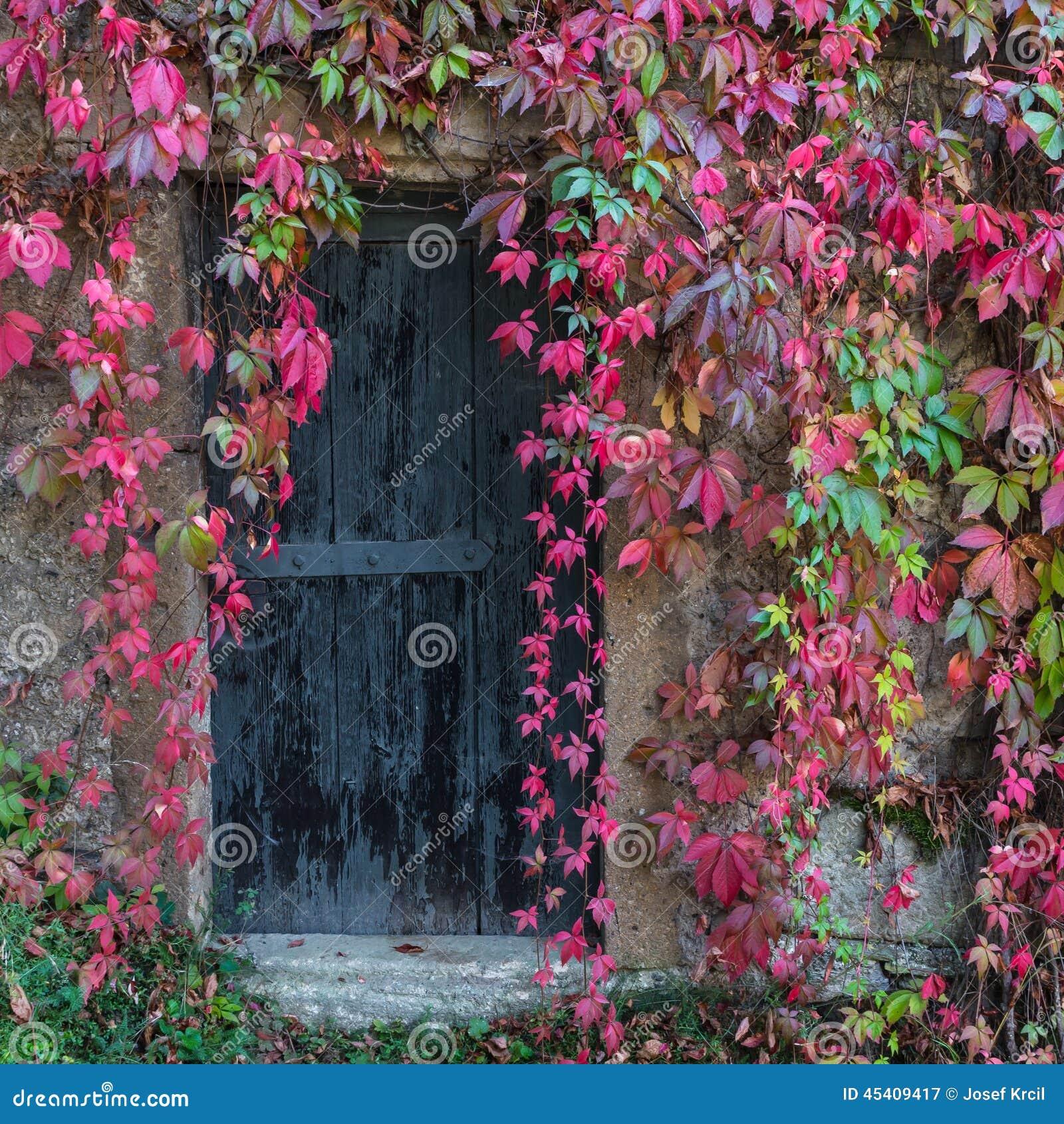 Stary drewniany drzwi przerastający z bluszczem