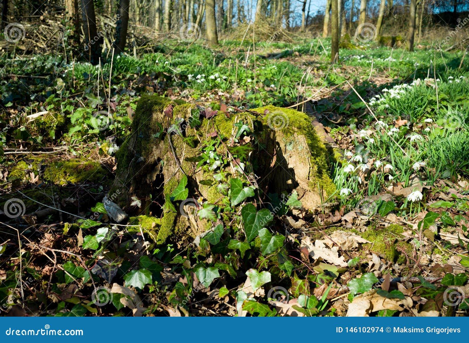 Stary drzewny fiszorek przerastający z mech i bluszczem otaczającymi z śnieżyczkami