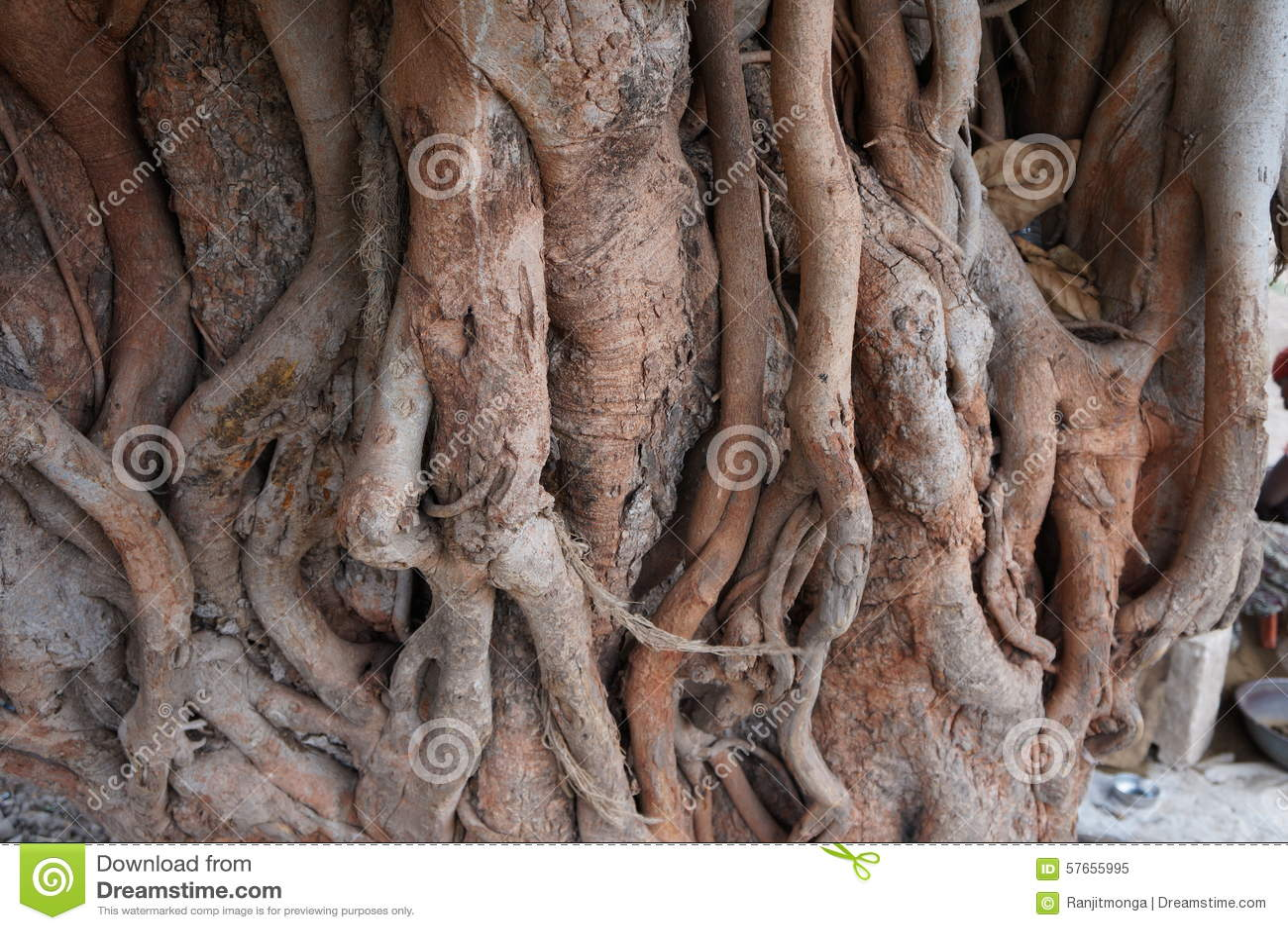 Stary Peepal drzewo