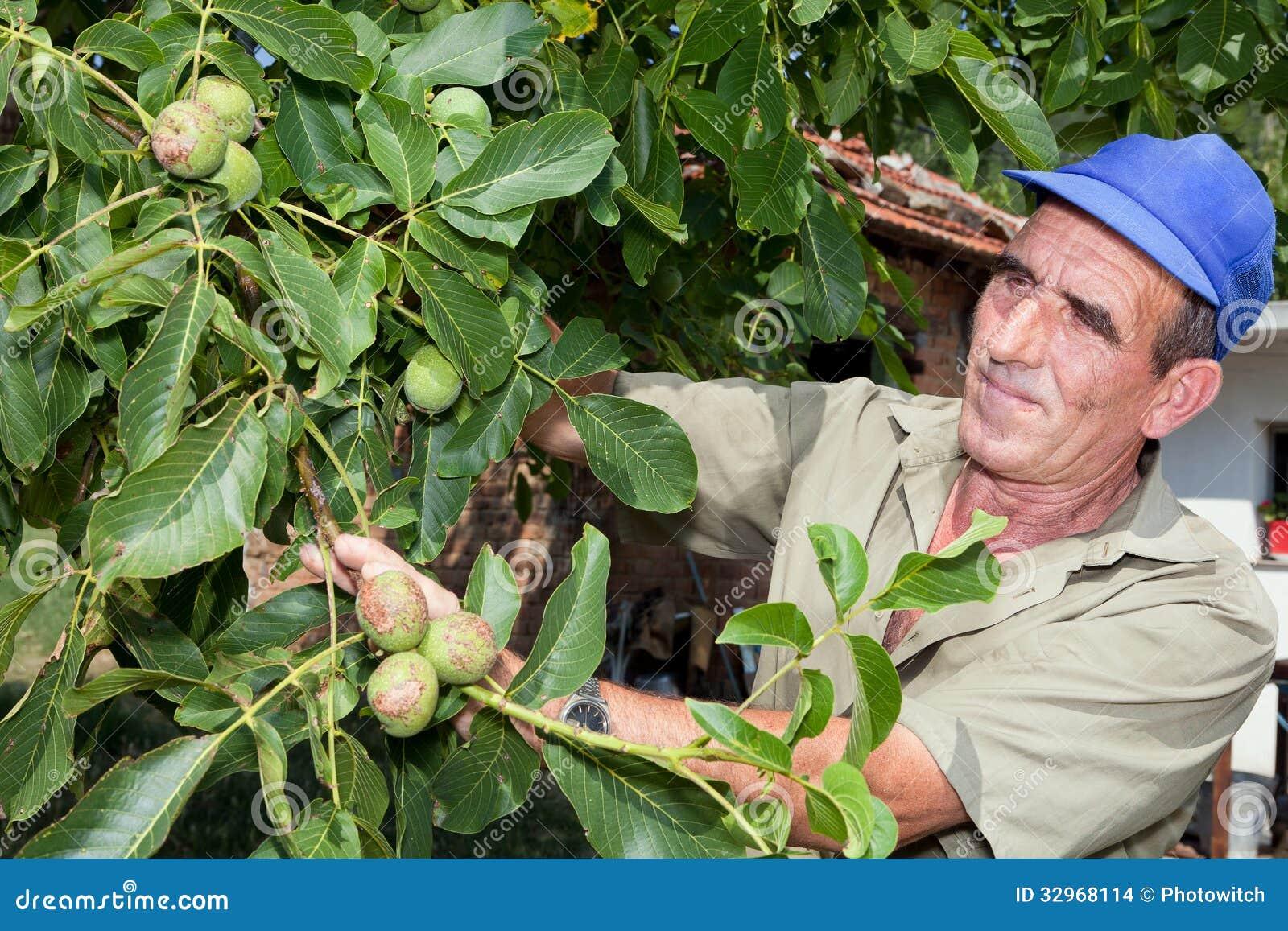 Stary rolnik z orzecha włoskiego drzewem