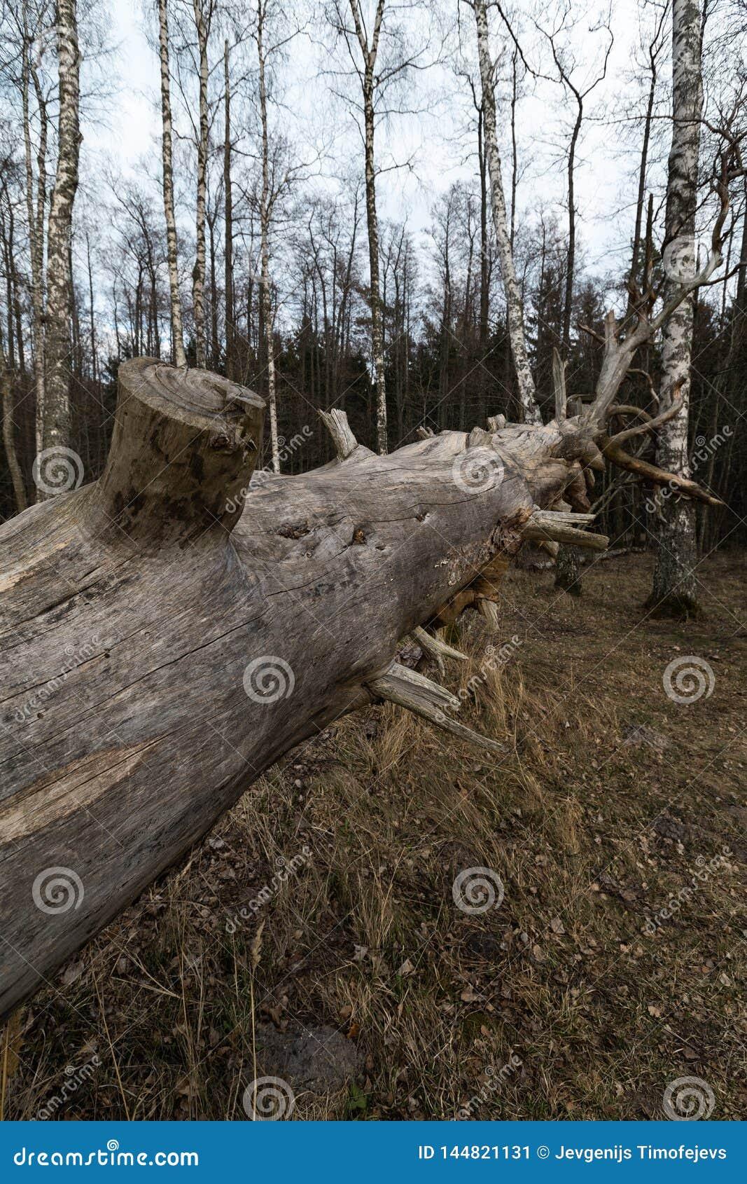 Stary spadać gnijący suchy drzewo w lesie z brzoz drzewami w tle 13, 2019 - Veczemju Klintis Latvia, Kwiecień, -