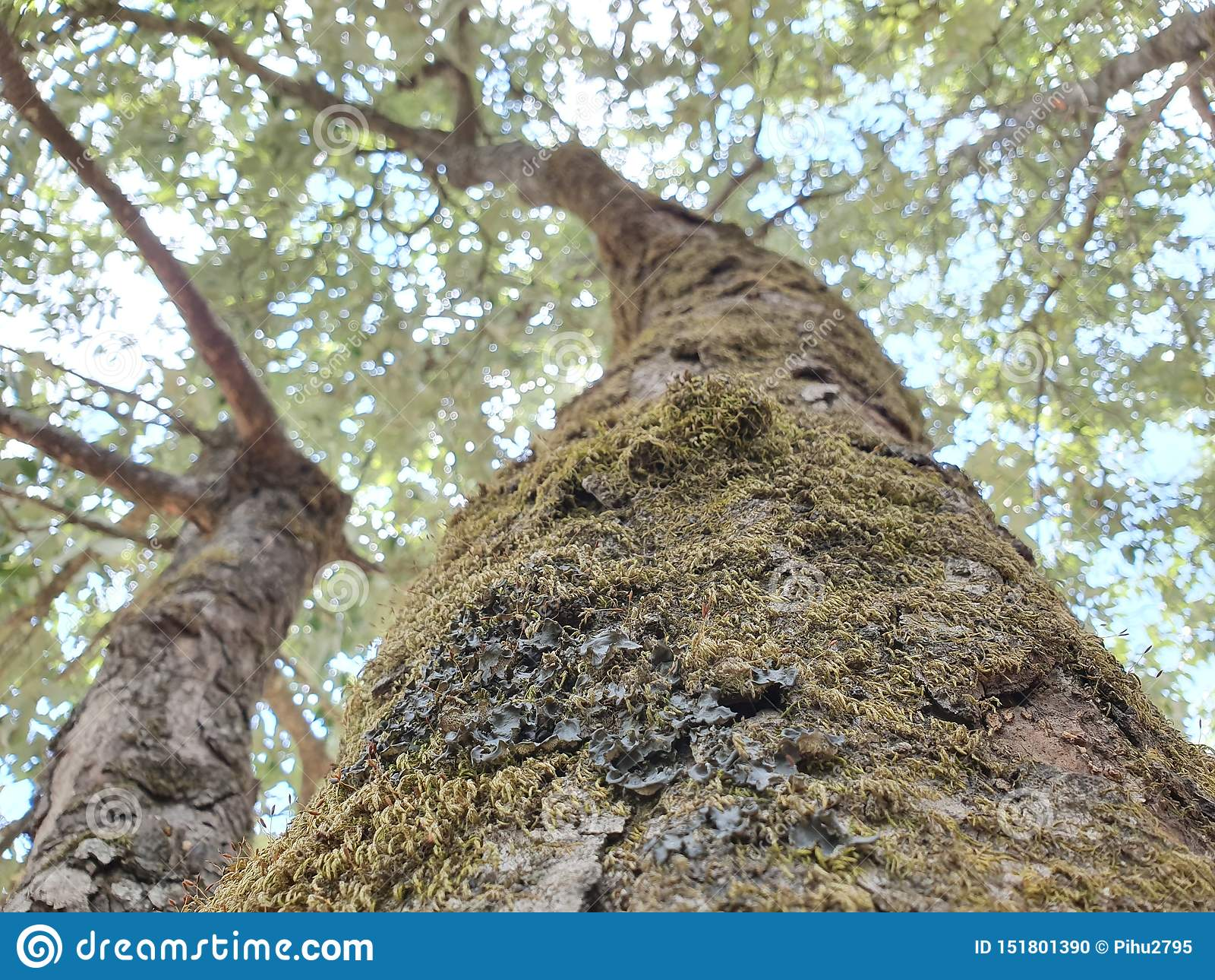 Starzy mechaci drzewa w foresr wczesnym poranku zamkniętym w górę barkentyny drzewo zakrywający w zielonym mech