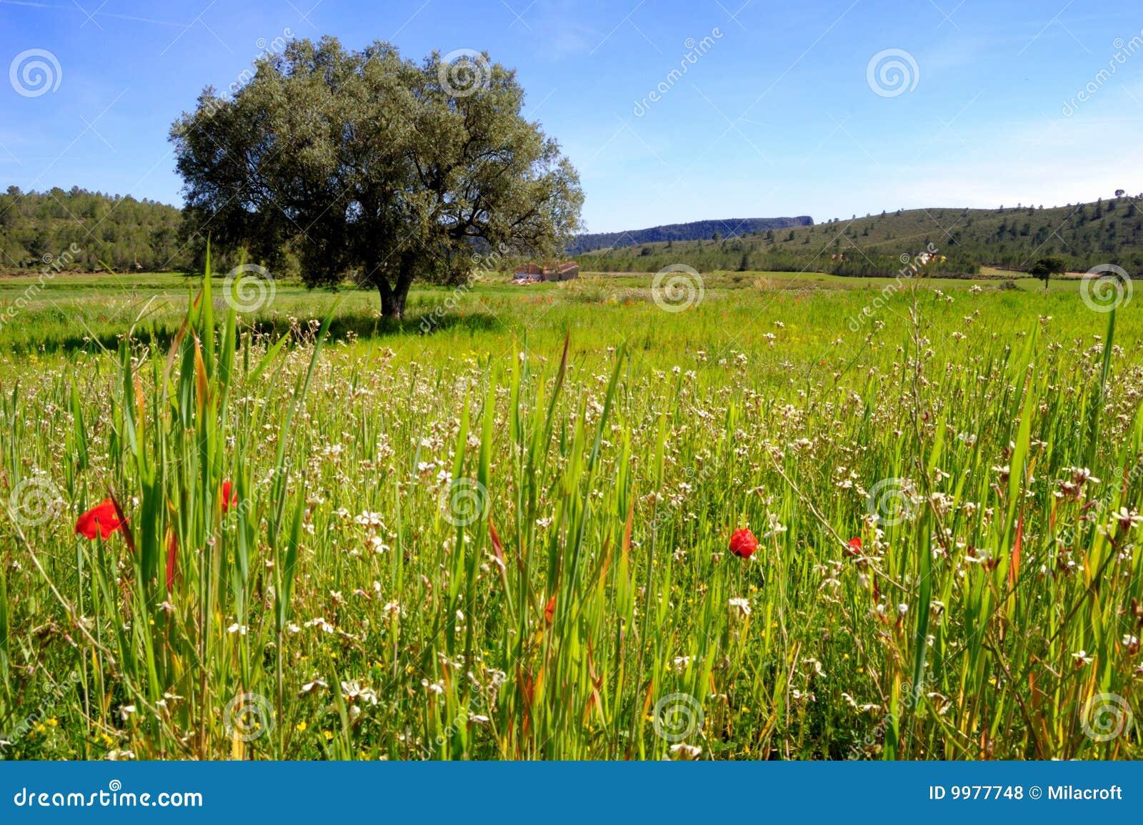 Starzy oliwni wiosny drzewa wildflowers