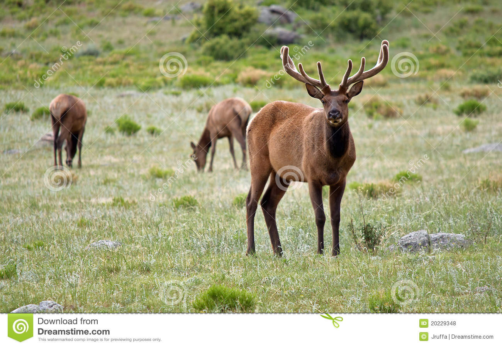 Stately Bull Elk