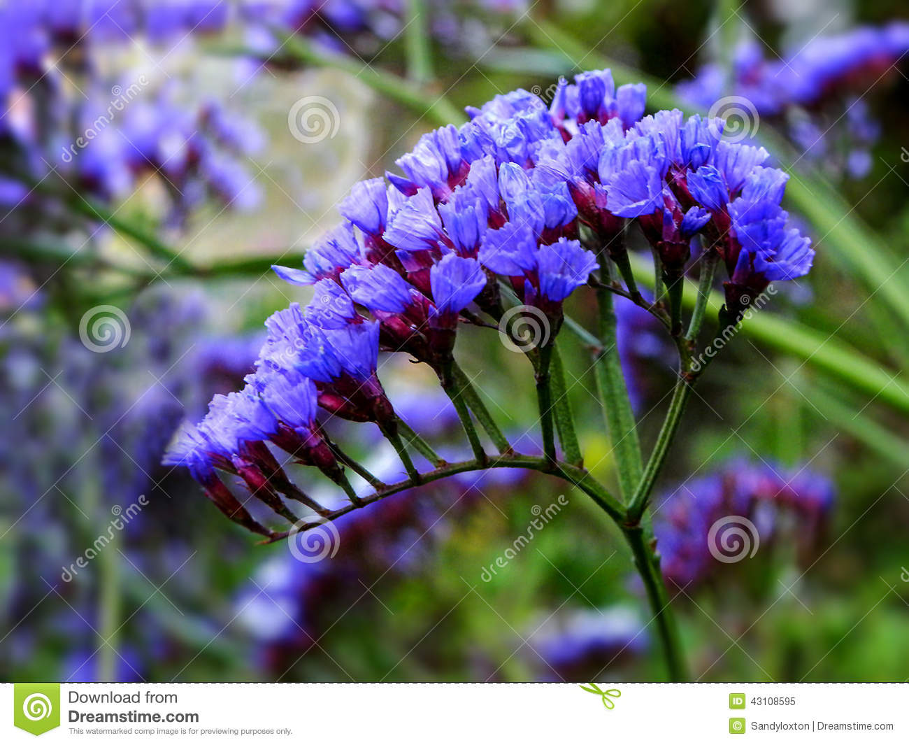 Statice Flowers Stock Image