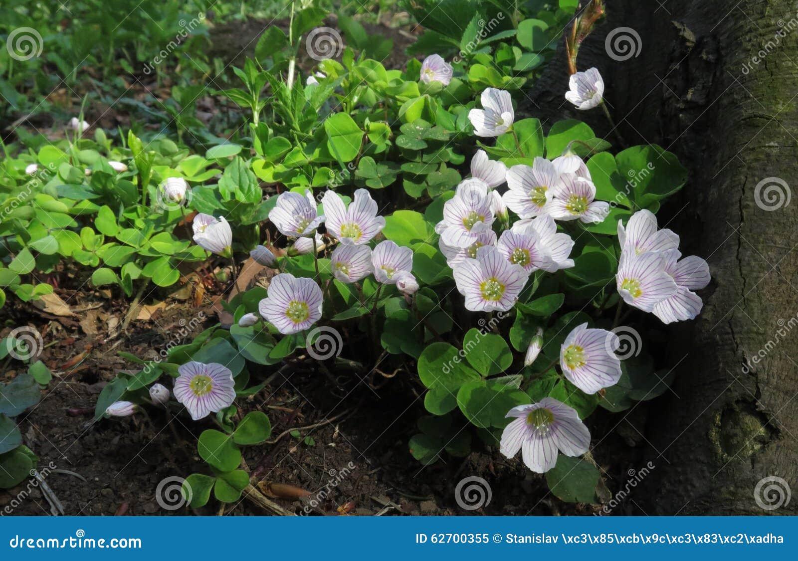 Stavel kysely - ξύλινο sorrel - στο άνθος