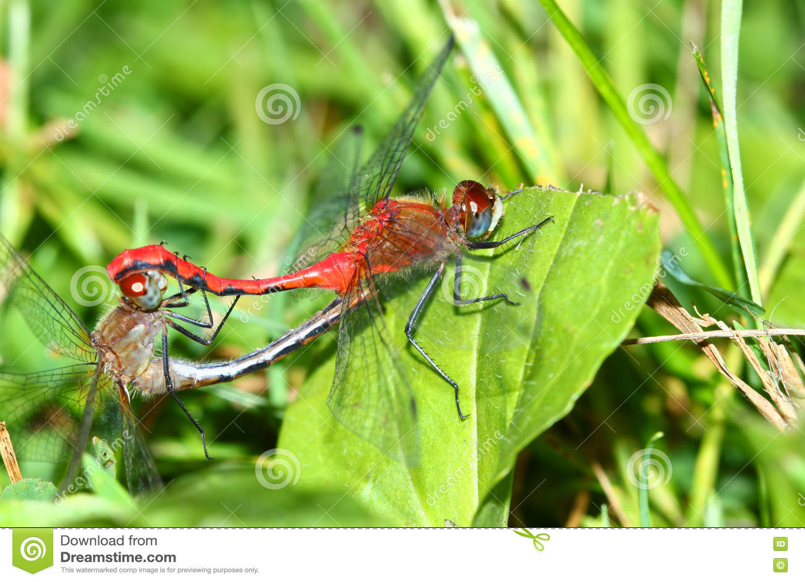 Stawiający czoło Meadowhawk Sympetrum obtrusum