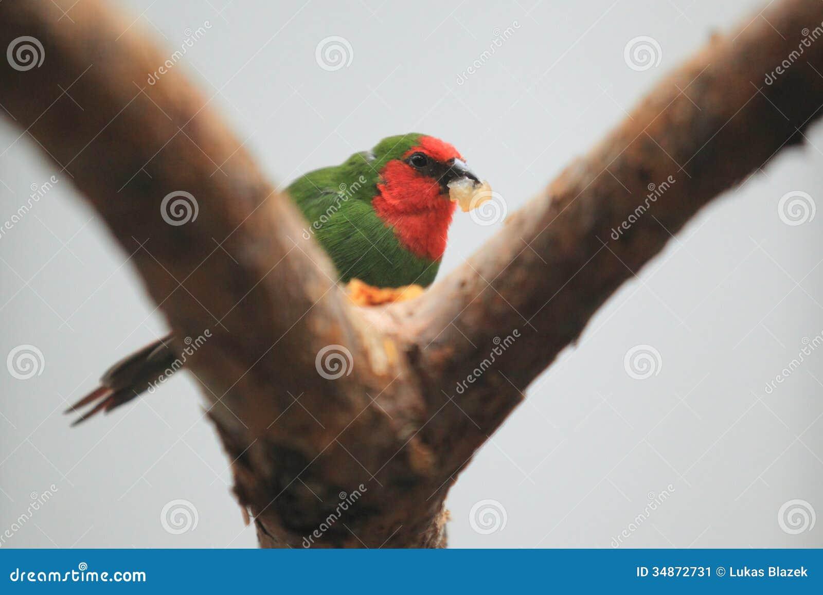 Stawiający czoło papuzi finch