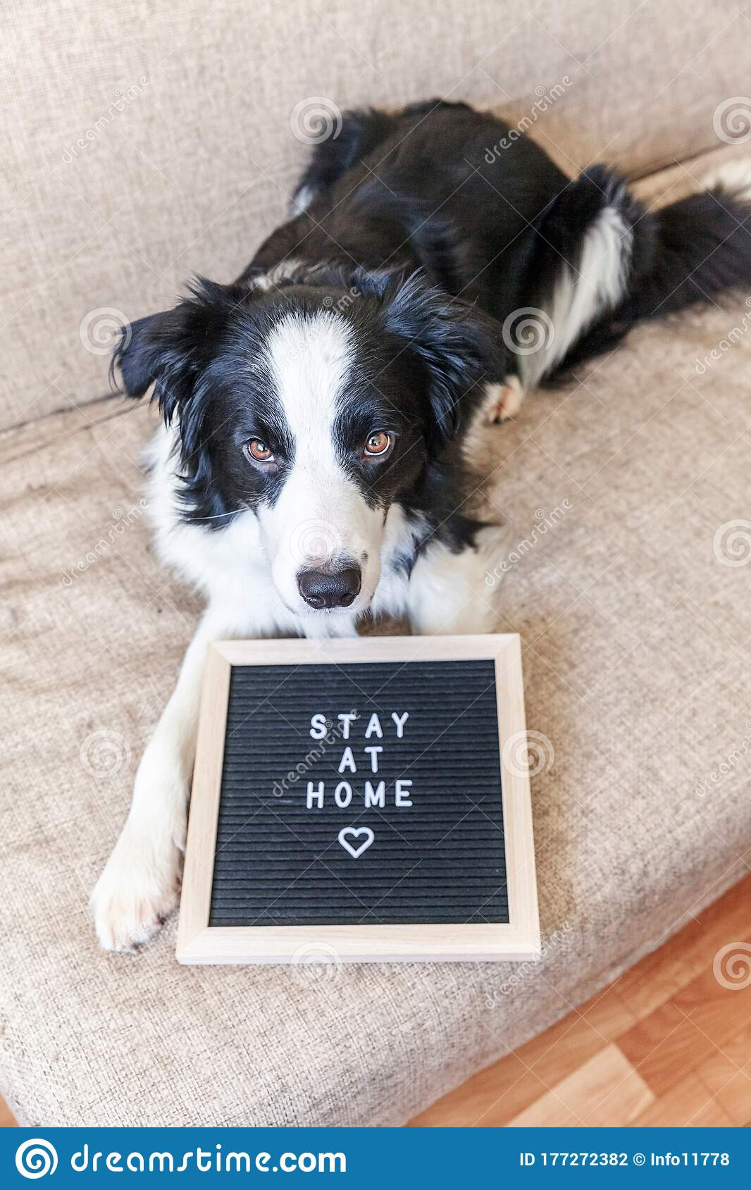 Stay Home Funny Portrait Of Cute Puppy Dog On Couch With Letter Board Inscription Stay At Home Word New Lovely Member Of Family Stock Photo Image Of Adorable Doggy 177272382