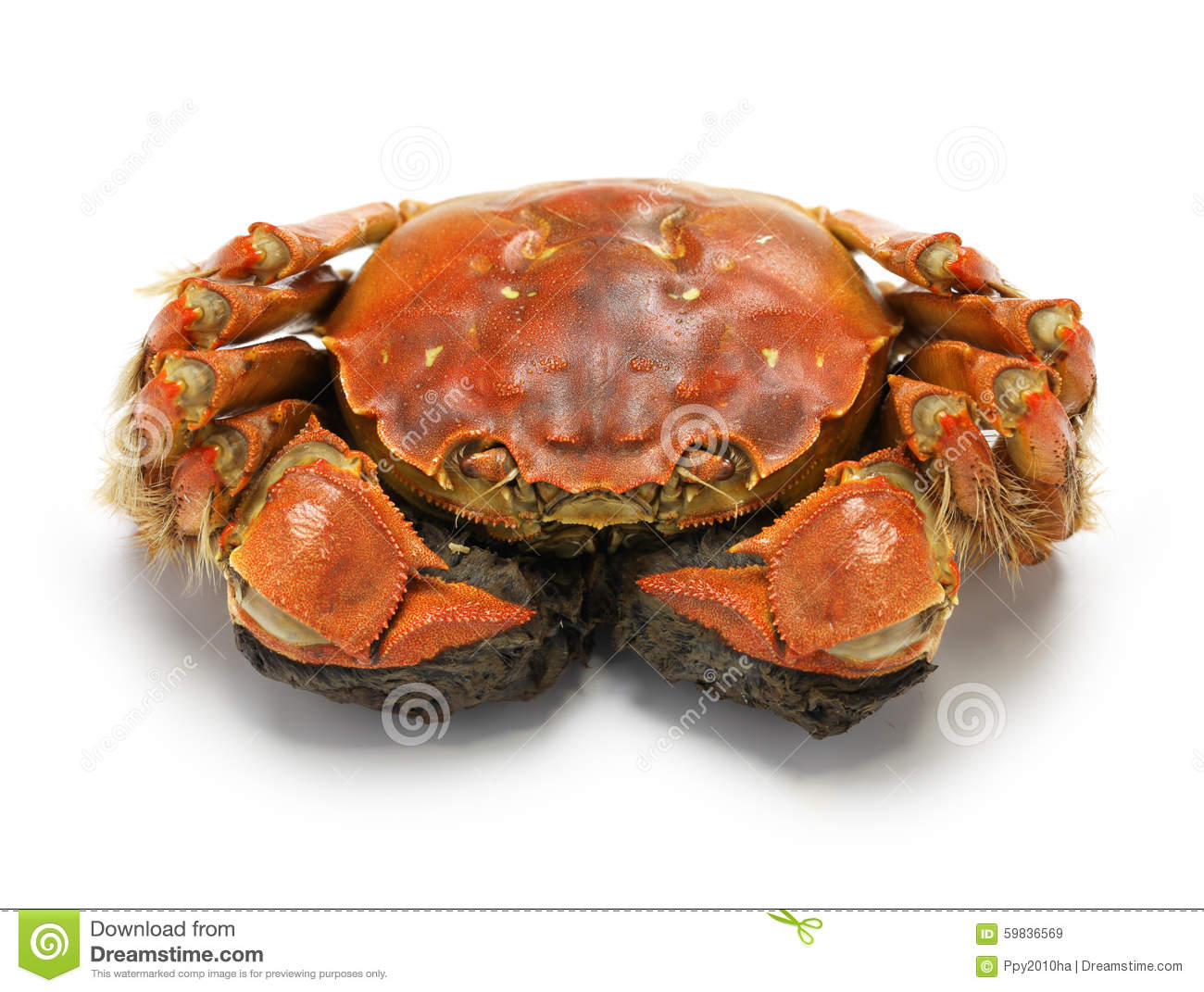 Steamed Chinese Mitten Crab, Shanghai Hairy Crab Stock ...