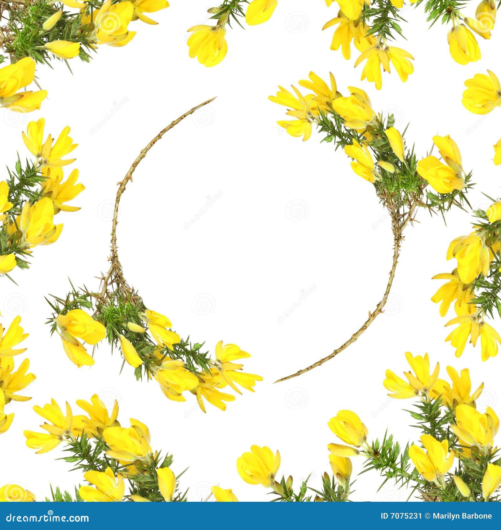 Stechginster-Blumen-Schönheit