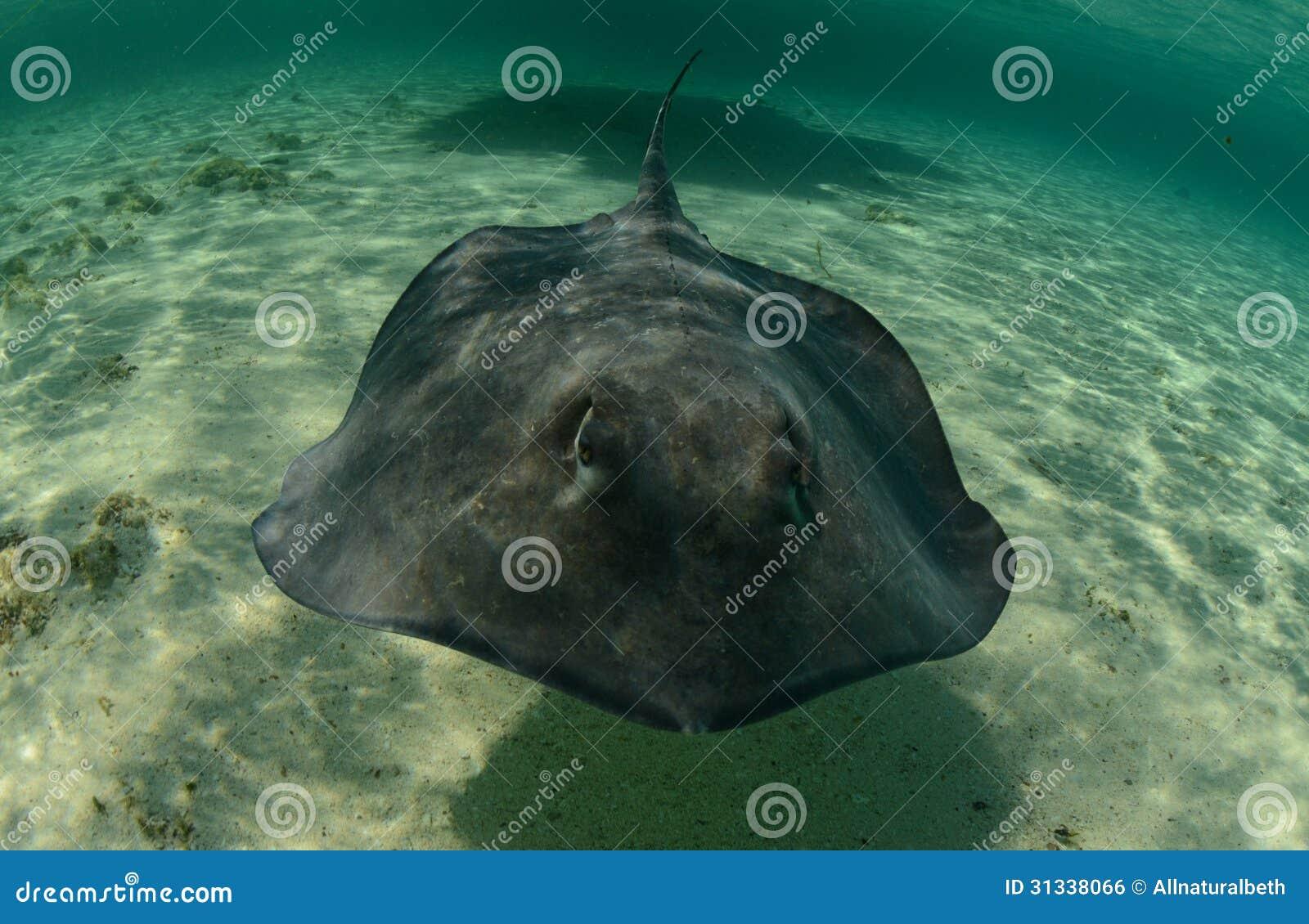 stechrochenschwimmen im ozean unterwasser stockfoto  bild