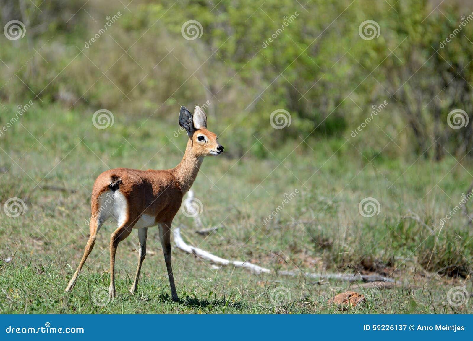 Download Steenbok Femenino (campestris Del Raphicerus) Imagen de archivo - Imagen de arbusto, savannas: 59226137