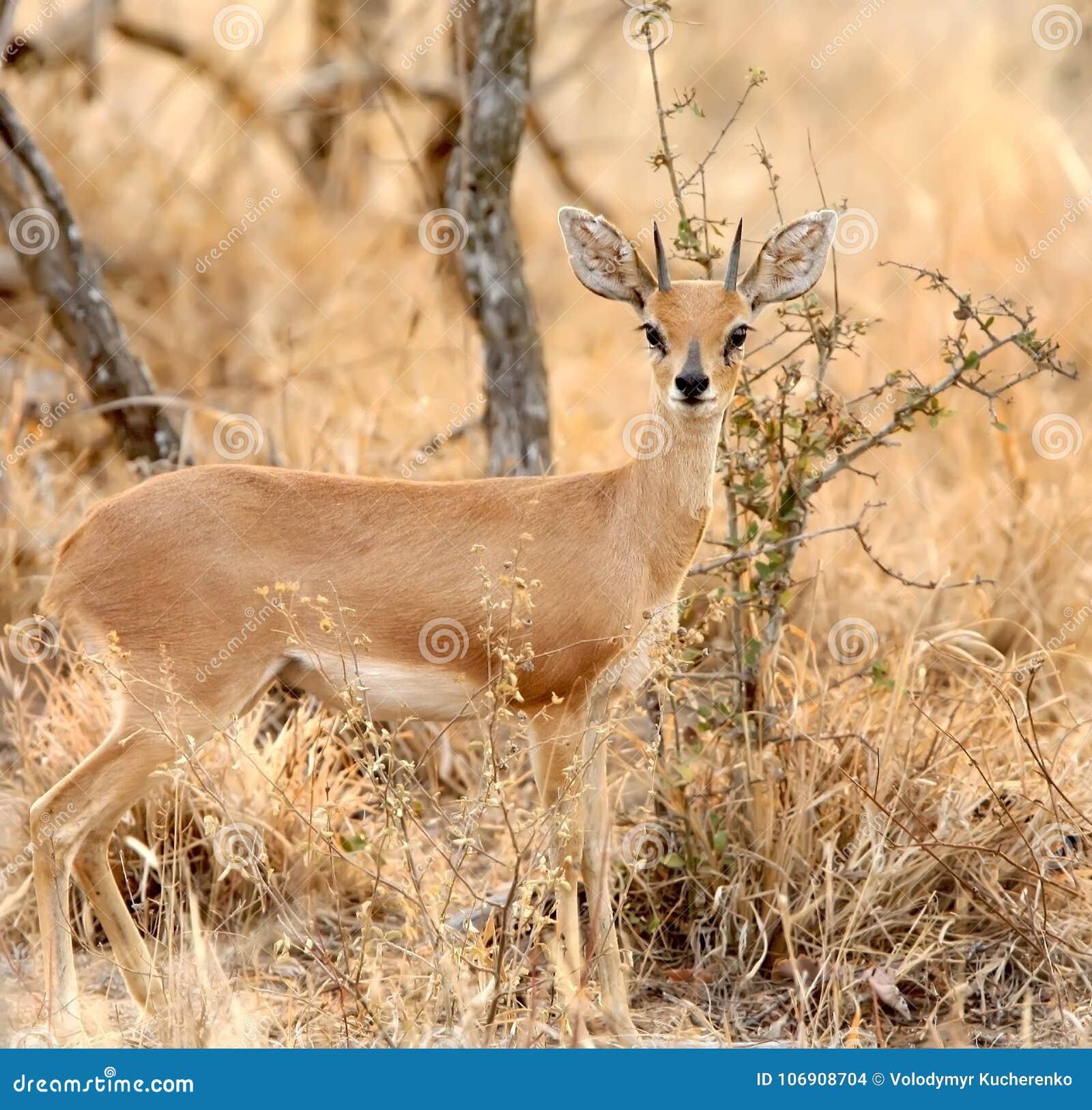 Steenbok Raphicerus campestris