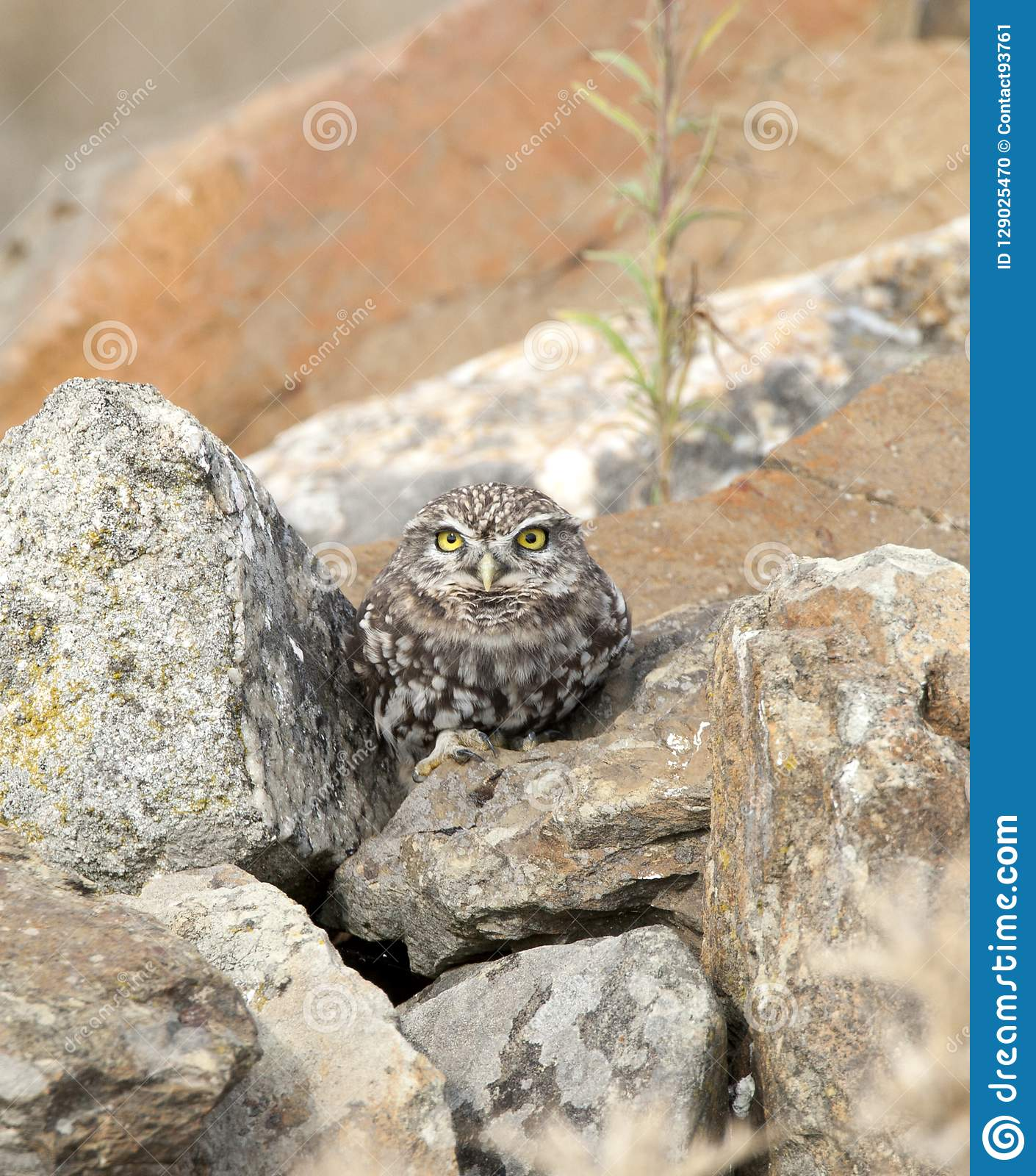 Steenuil,Little Owl, Athene noctua