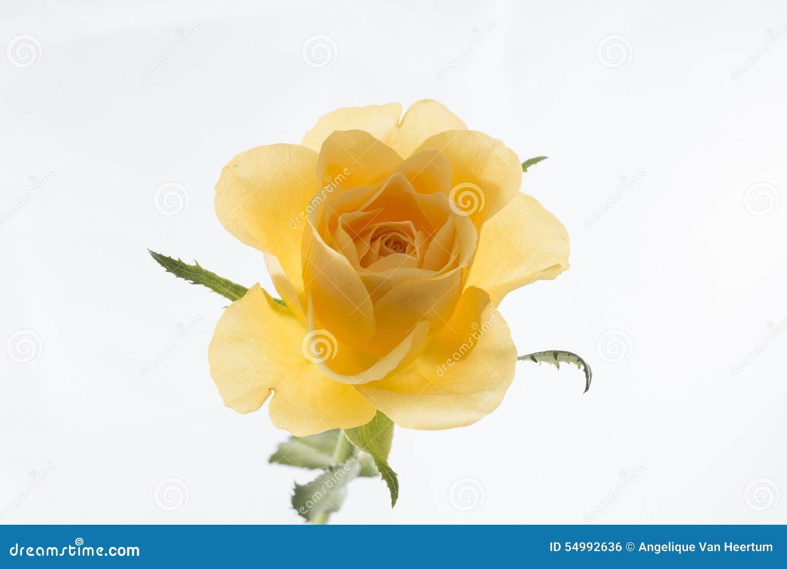 Steg yellow