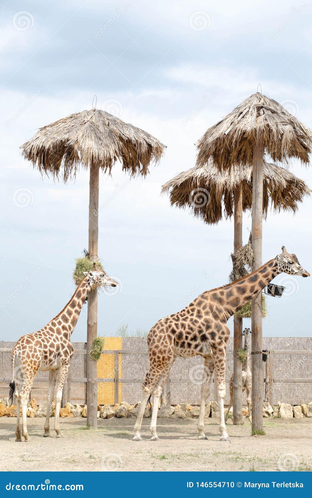 Stehen schöne Frau und Mann der Giraffe zwei in der Nähe