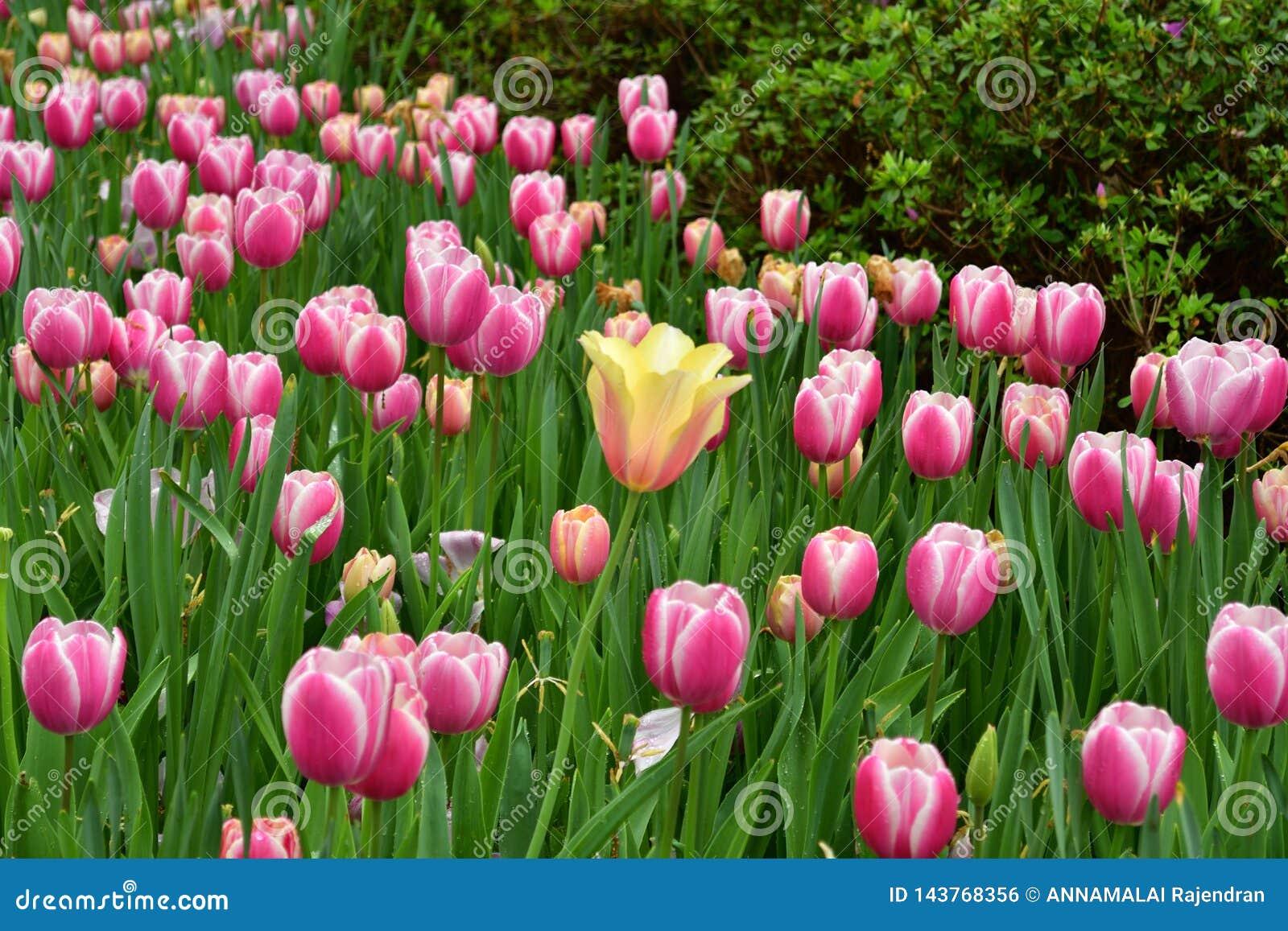 Stehen Sie heraus gelbe Tulpe unter Klingelntulpen