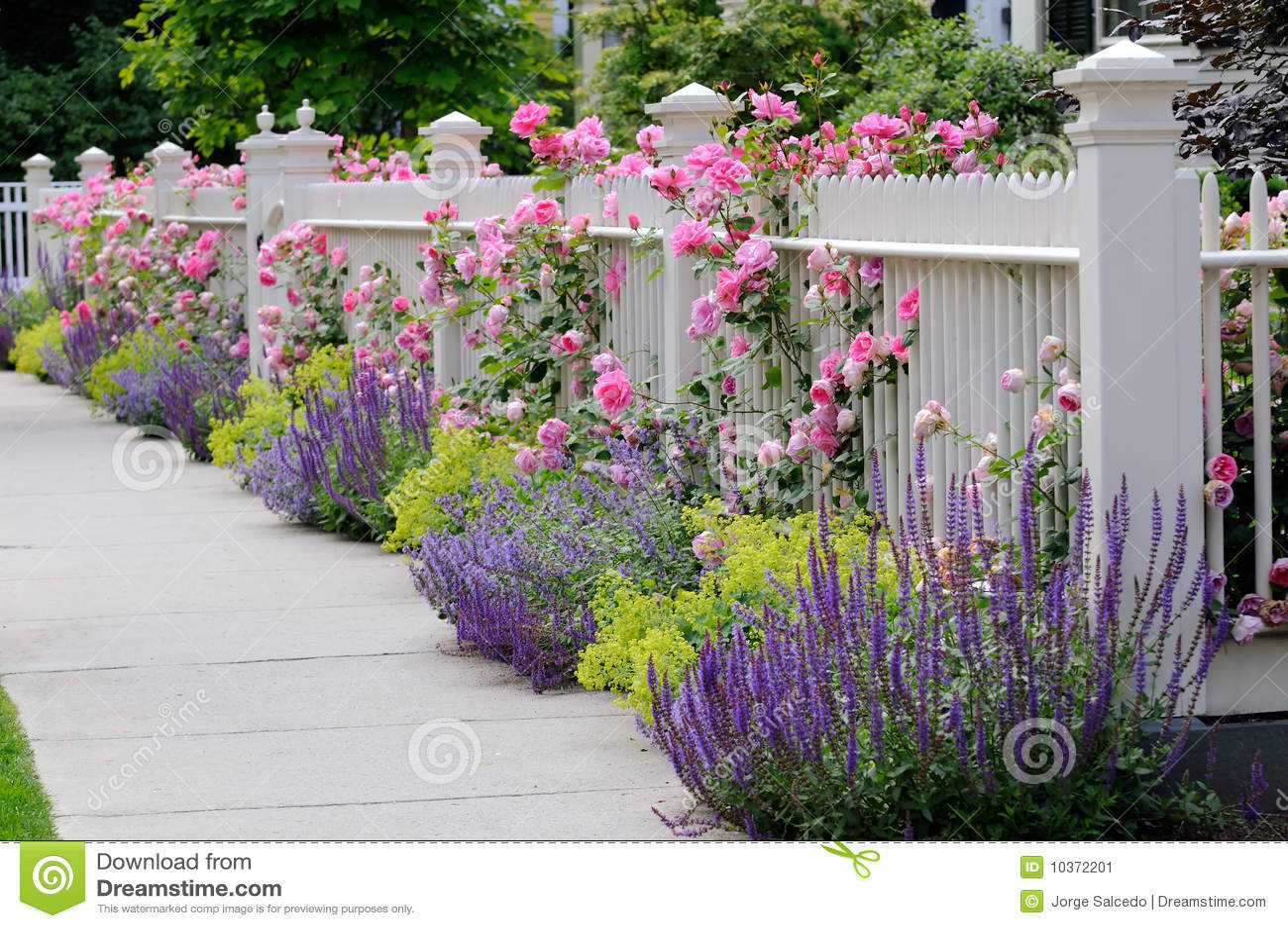 steigende rosen wei er zaun stockbild bild von bett nave 10372201. Black Bedroom Furniture Sets. Home Design Ideas